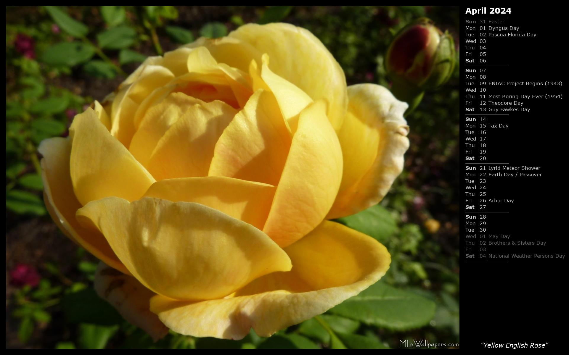 April Rose Calendar : Mlewallpapers yellow english rose calendar