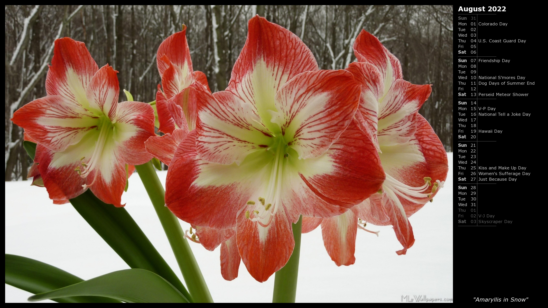 Amaryllis in snow i calendar for Amaryllis gel