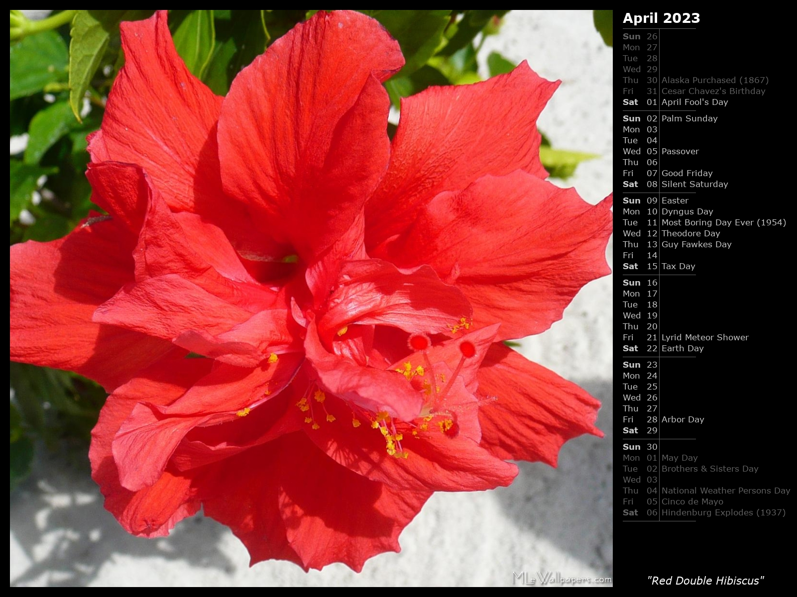 Mlewallpapers red double hibiscus calendar red double hibiscus izmirmasajfo Image collections
