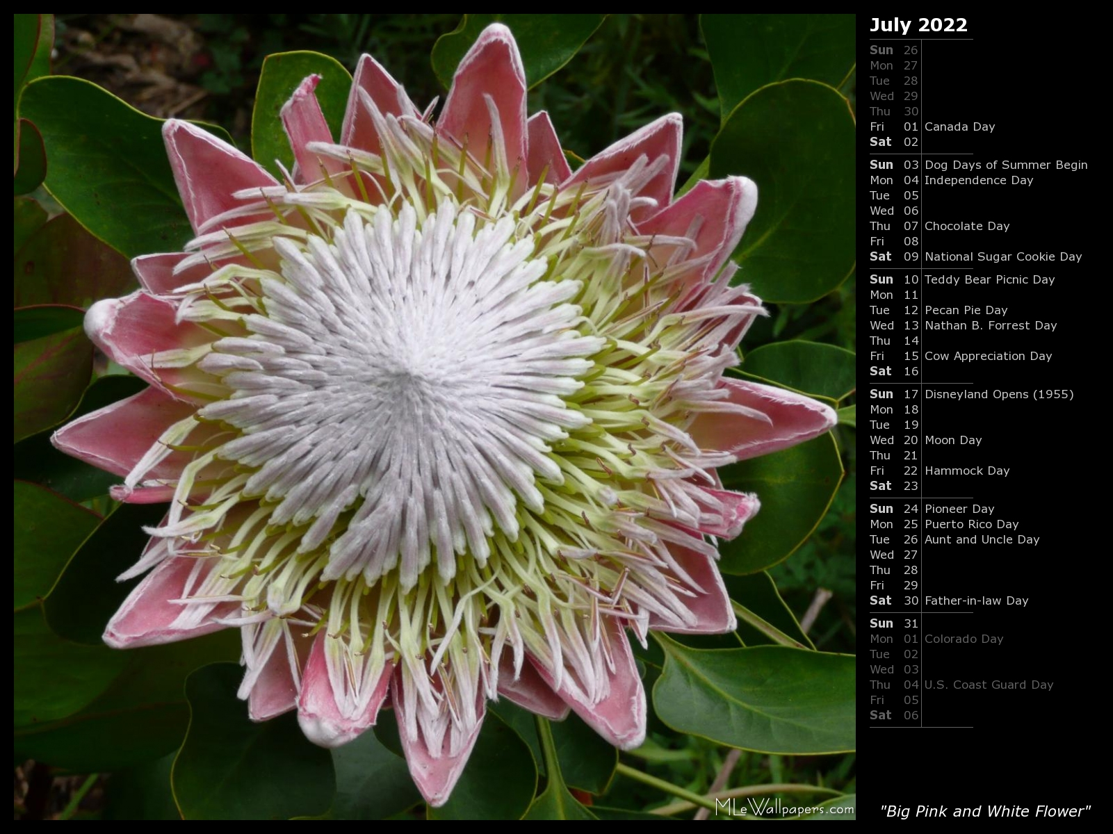 Mlewallpapers big pink and white flower calendar big pink and white flower mightylinksfo