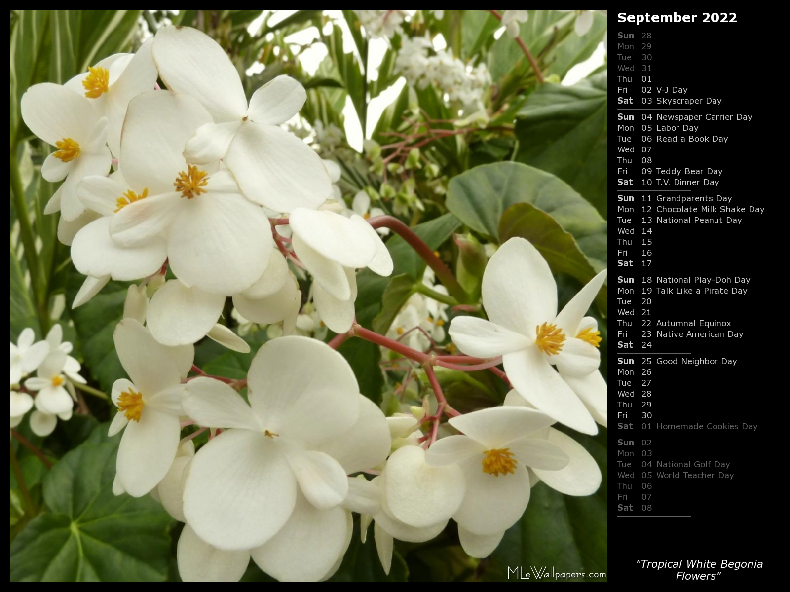 Mlewallpapers tropical white begonia flowers calendar tropical white begonia flowers mightylinksfo
