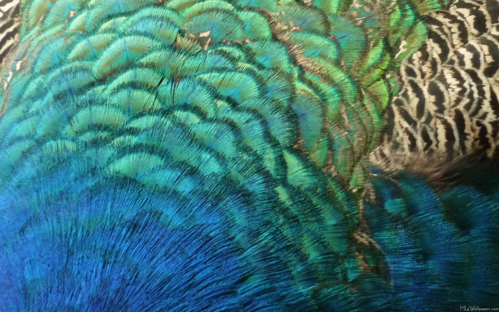 The other peacock - Scientific American Blog Network