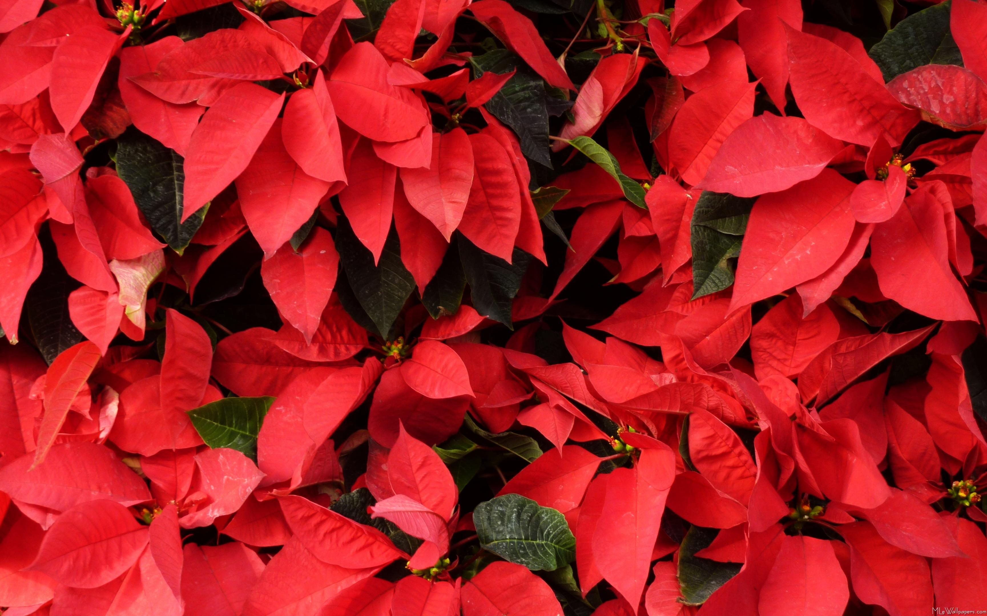 or red poinsettia - photo #18