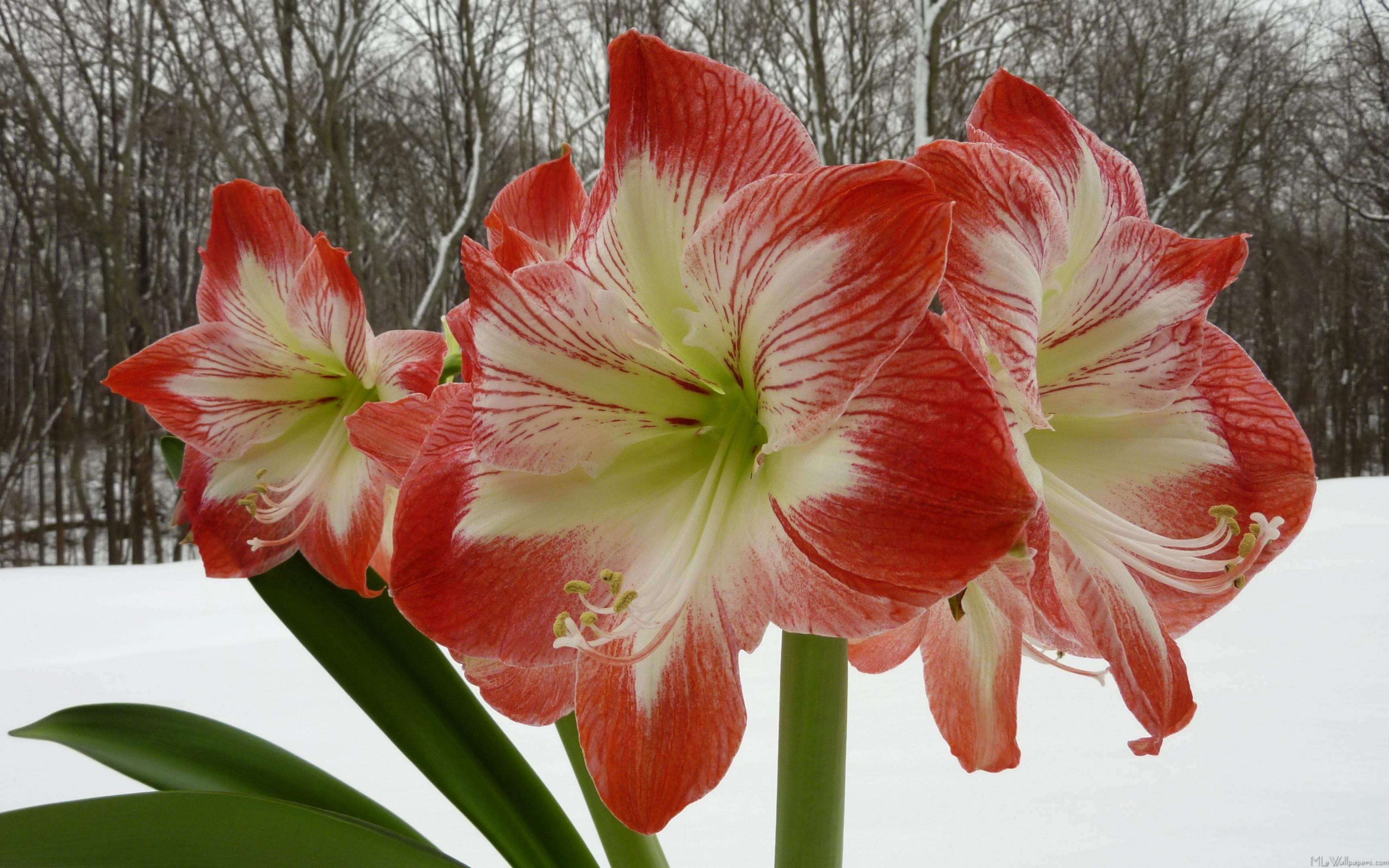 Flowers that bloom in the winter - Amaryllis In Snow I