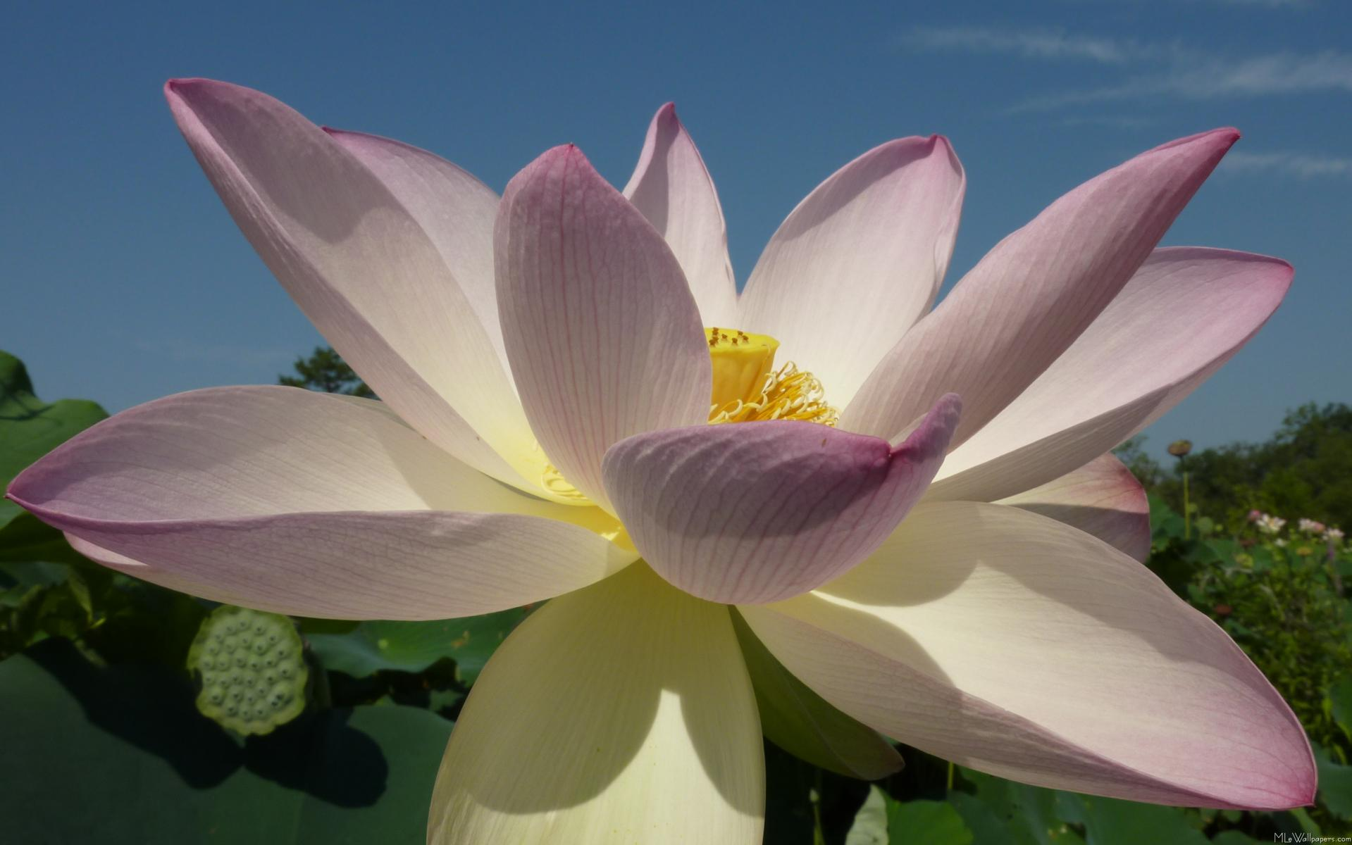 Mlewallpapers Lotus Flower And Blue Sky I