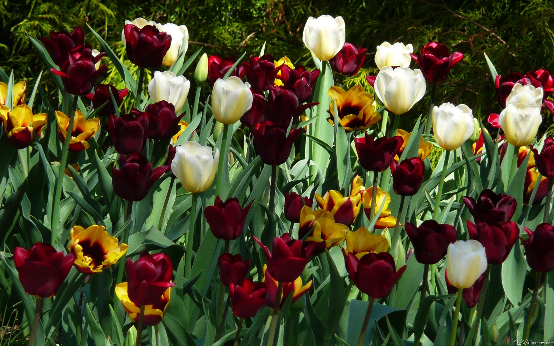 Maroon Flowers Wallpaper Maroon And Yellow Tulips