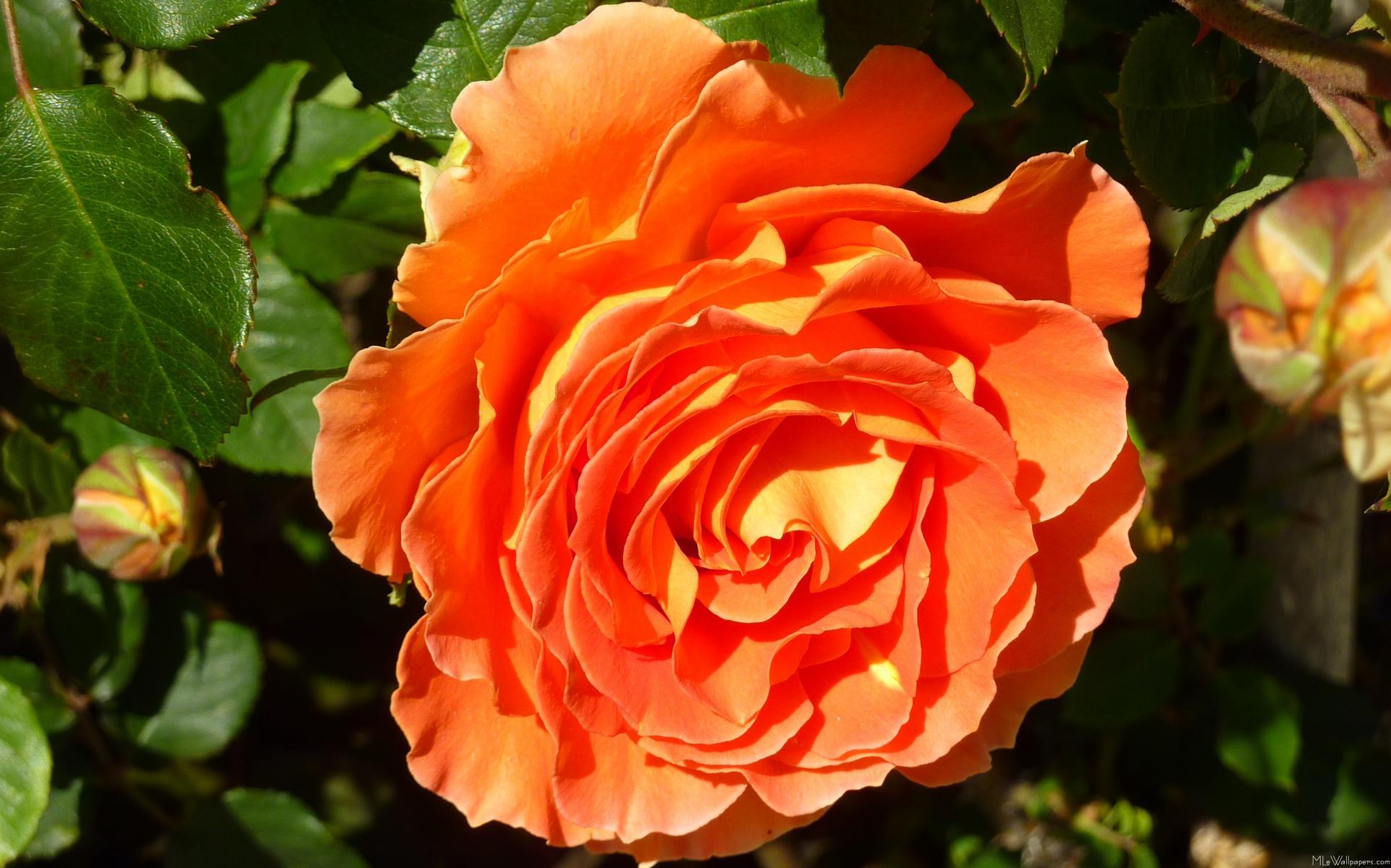 orange rose i. Black Bedroom Furniture Sets. Home Design Ideas