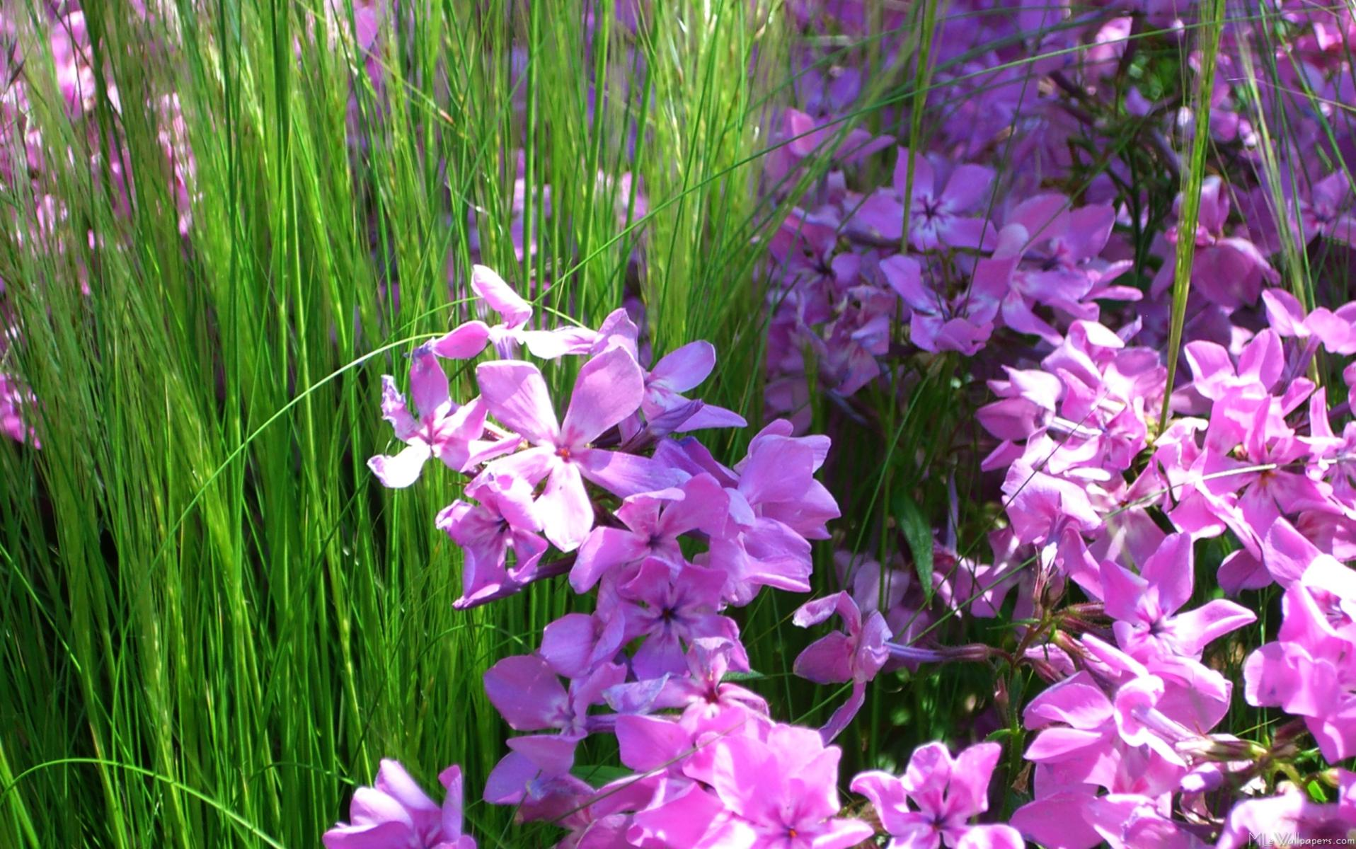 Pink phlox and grass for Grass like flowering plants