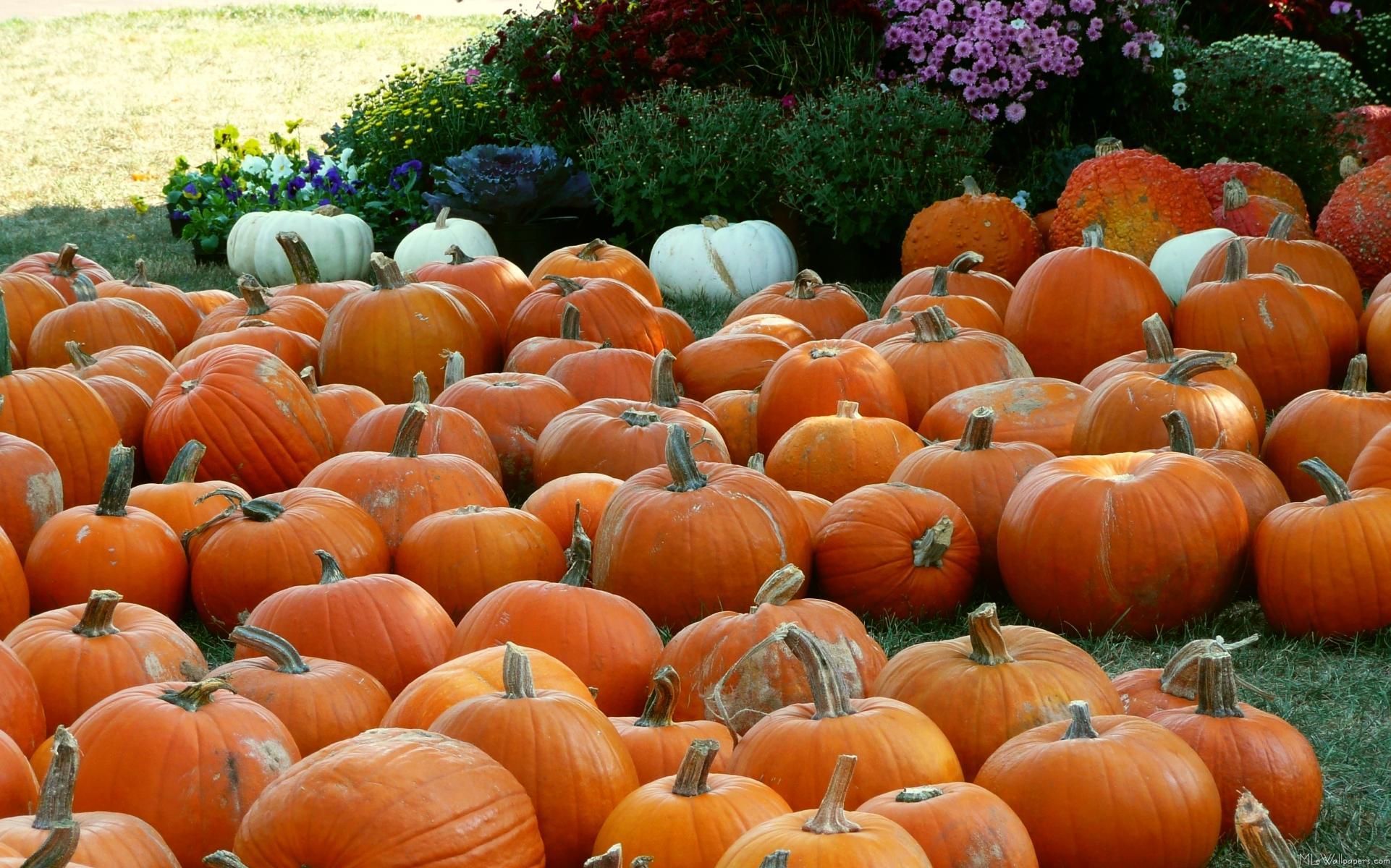 Pumpkins and mums - Fall wallpaper pumpkins ...