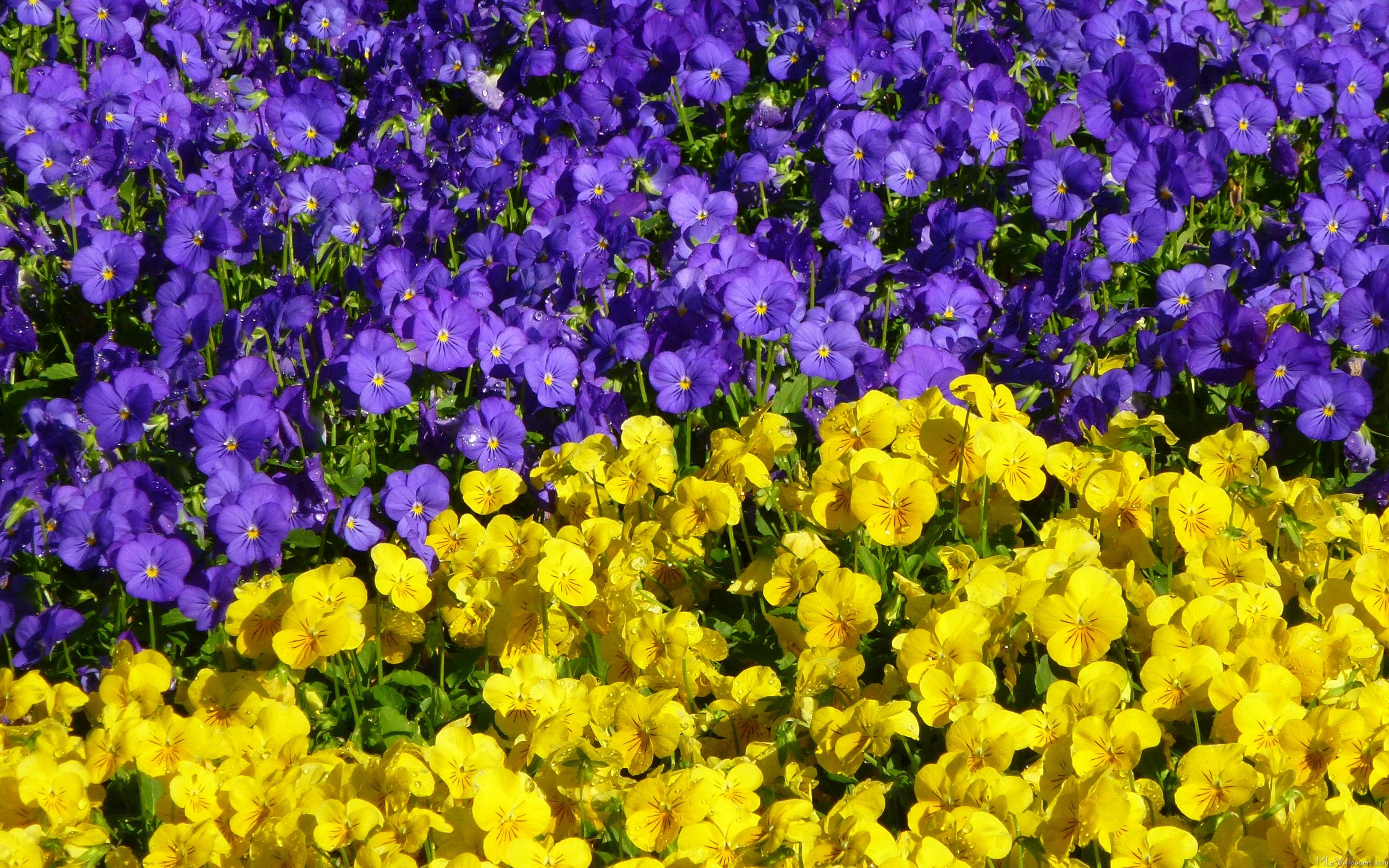 MLeWallpapers.com - Purple and Yellow Violas