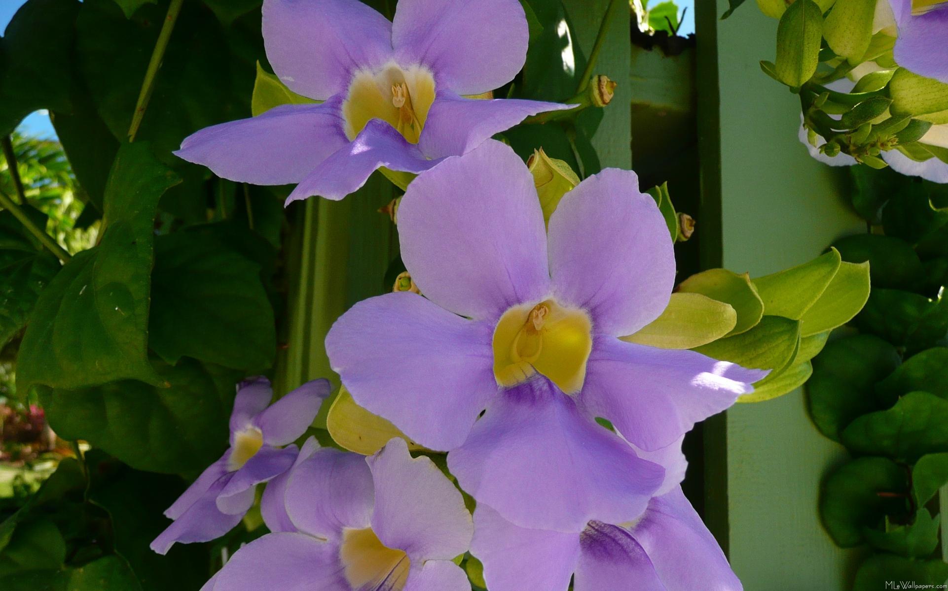 MLeWallpapers Sky Flower Vine