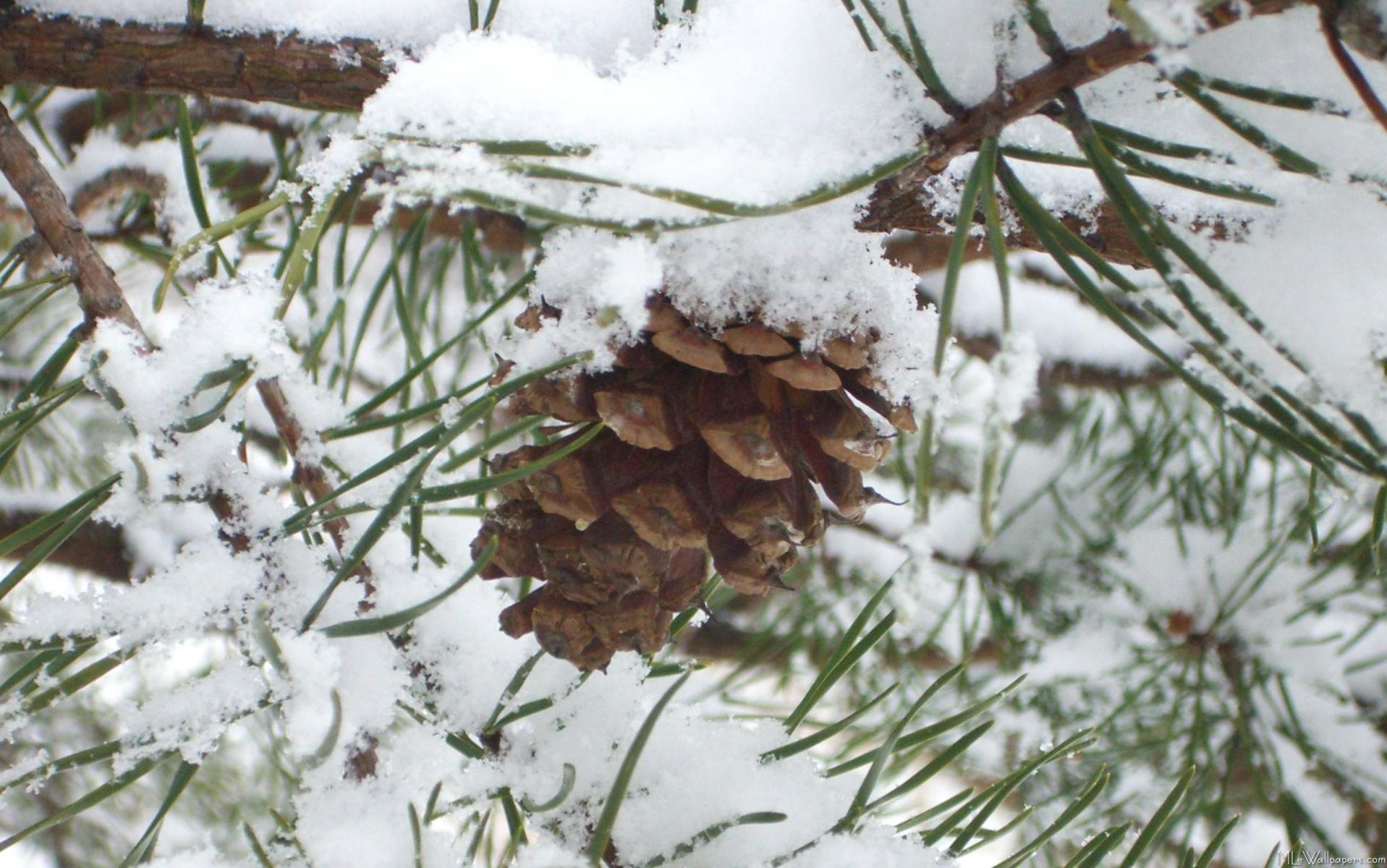 Snowy pine cone i for Pinecone wallpaper