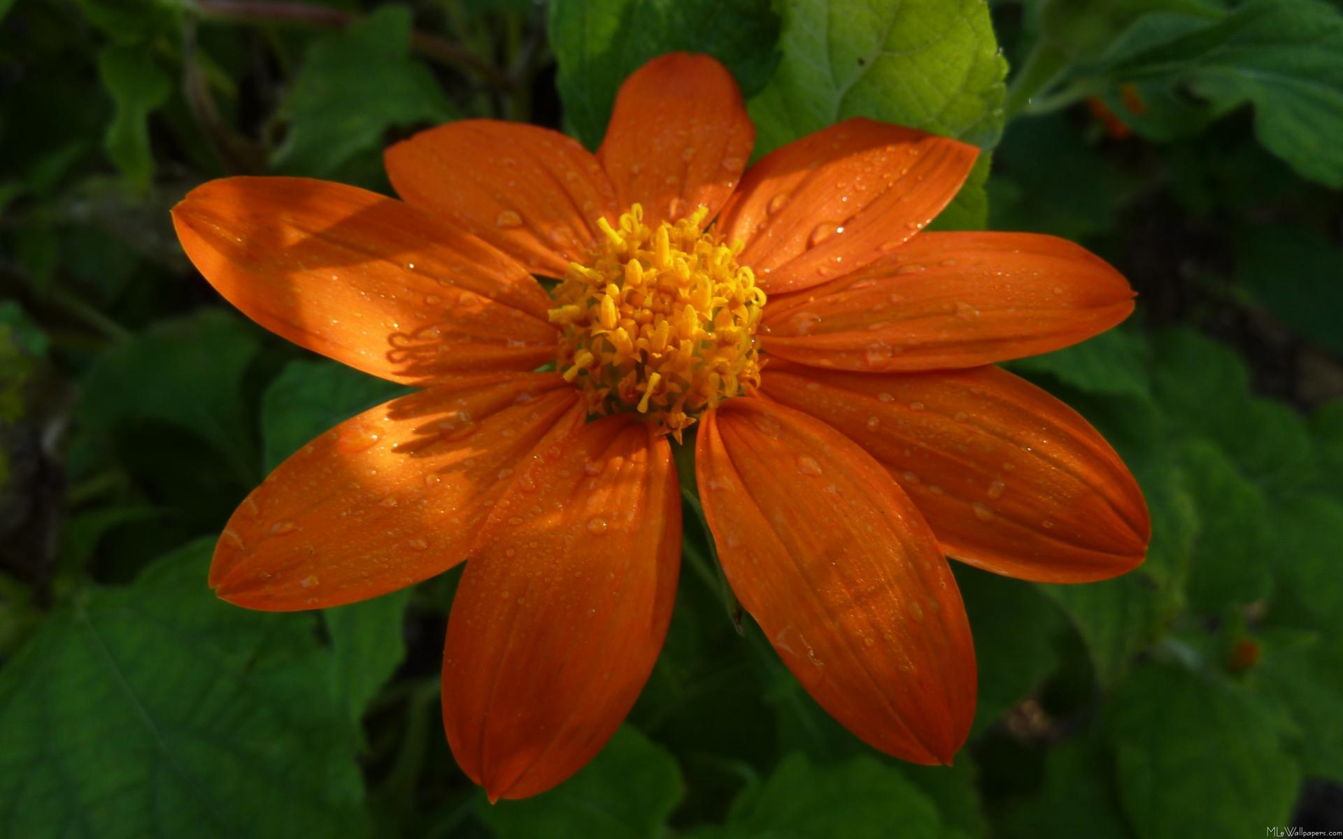 Orange Flower wallpaper - 435147