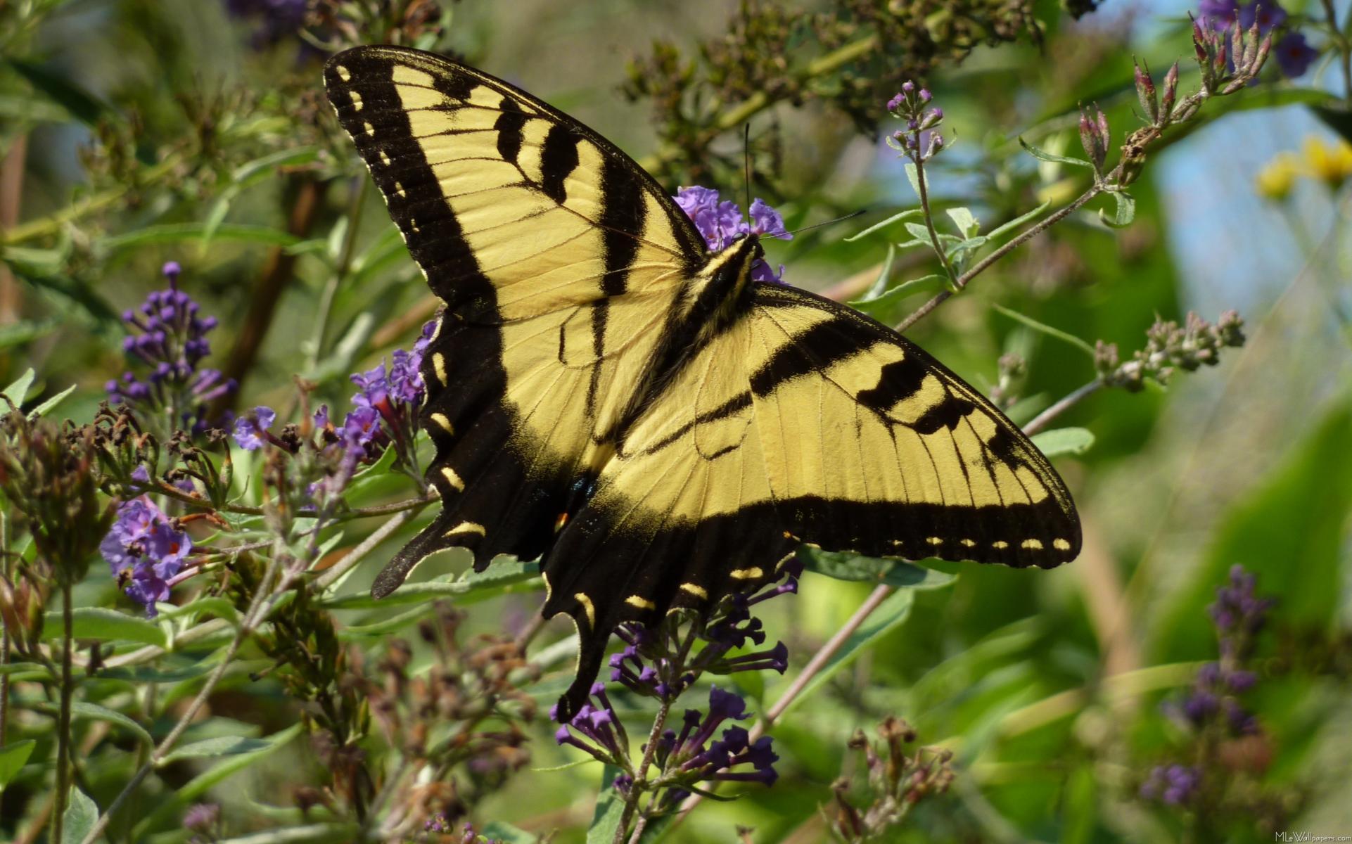 Tiger swallowtail wallpaper butterflies animals wallpapers for