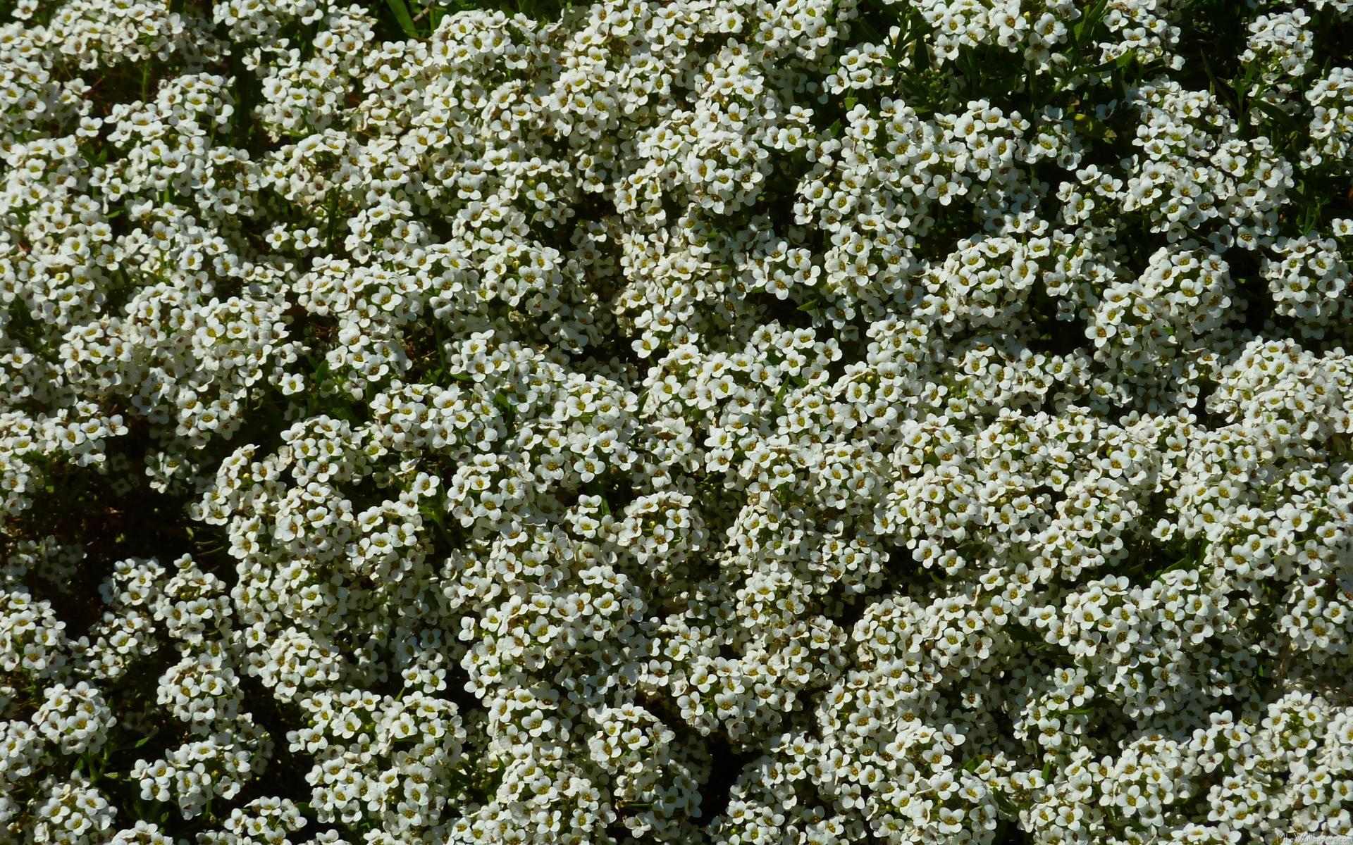 Mlewallpapers sweet alyssum flowers sweet alyssum flowers mightylinksfo