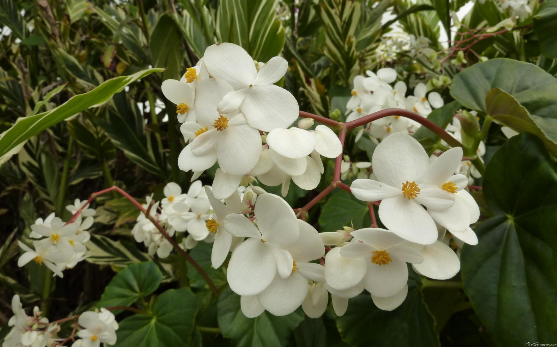 Mlewallpapers tropical white begonia flowers tropical white begonia flowers click here to download the full size 1922x1200 image mightylinksfo