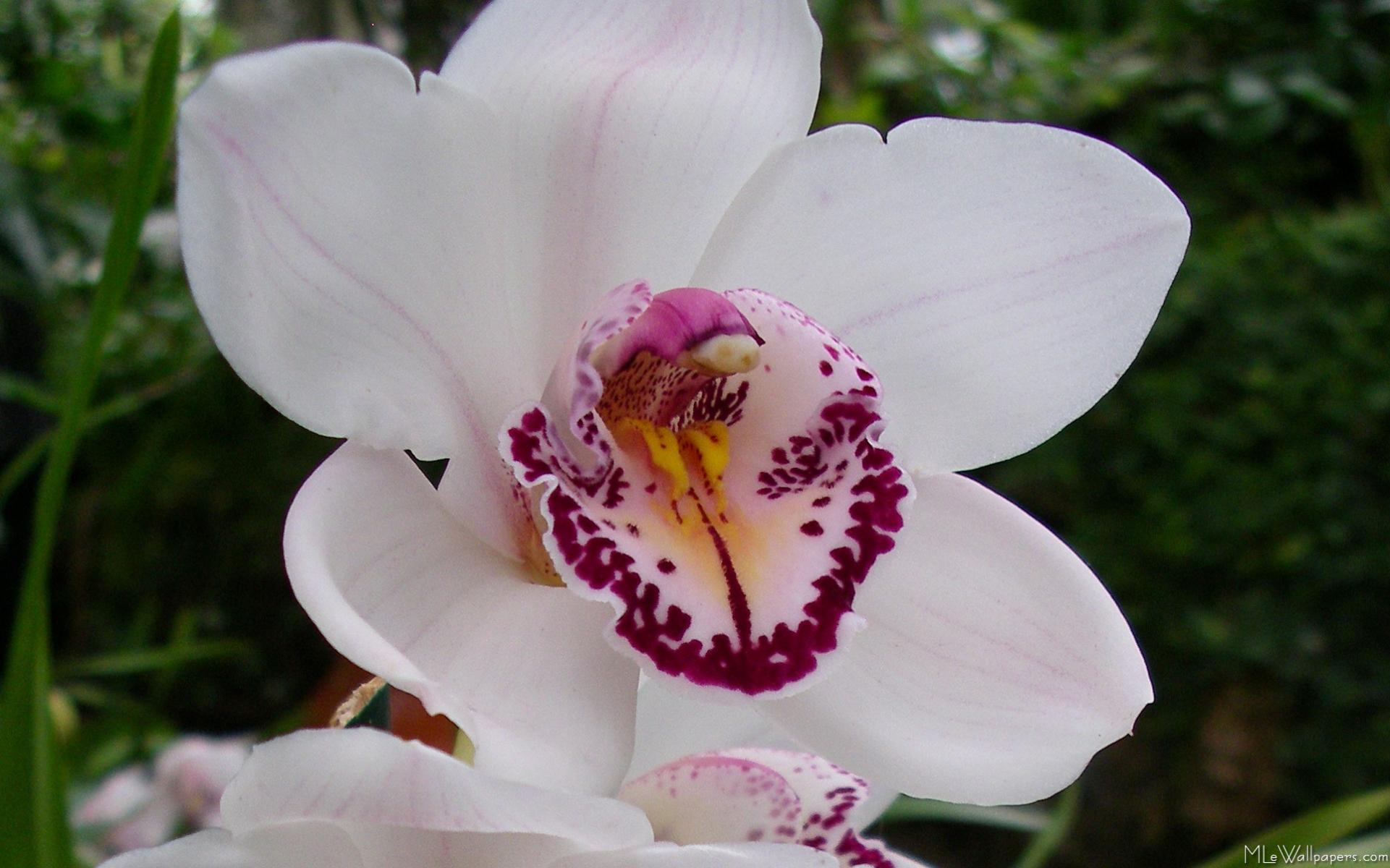 MLeWallpapers White Orchid I