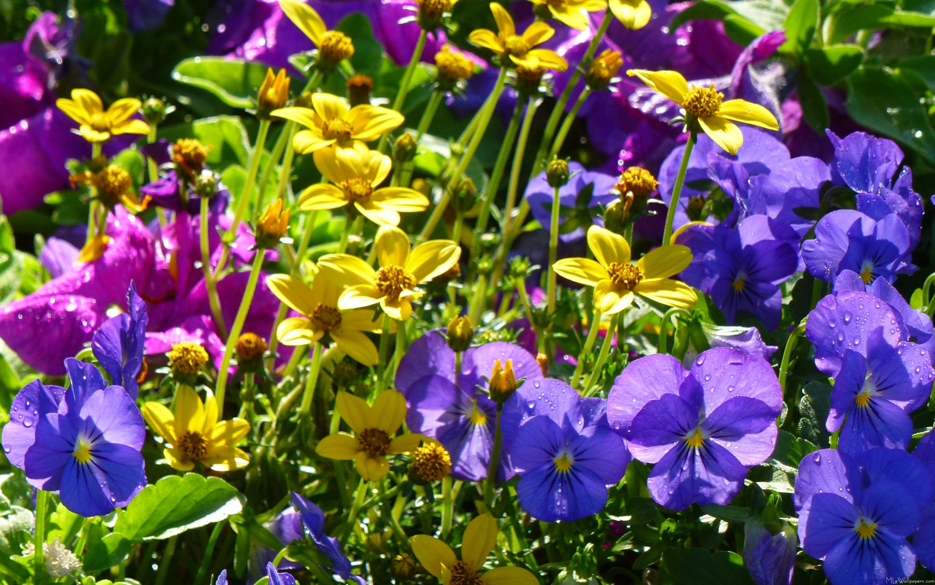 Mlewallpapers Yellow Coreopsis And Purple Violas