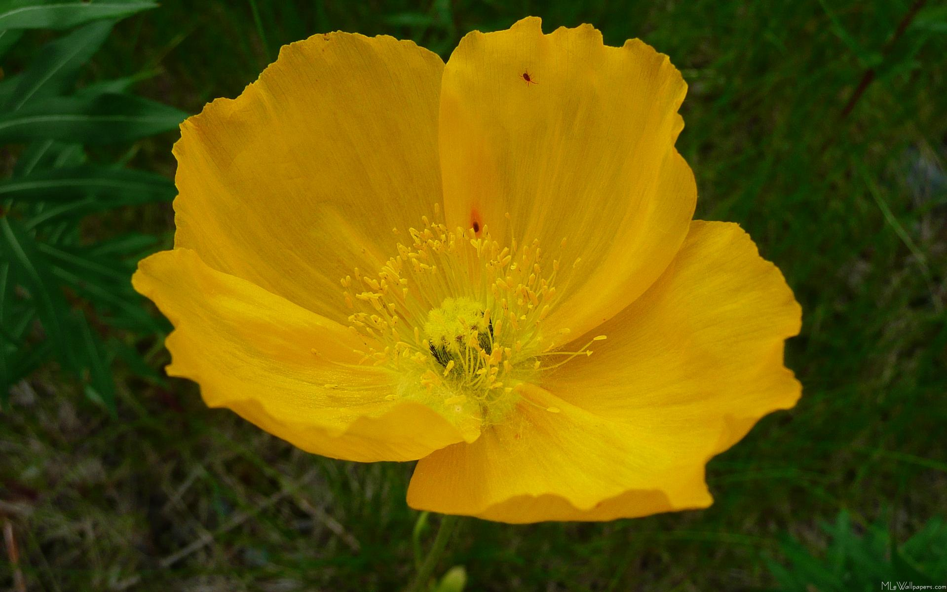 Yellow Poppy Images Yellow Poppy · Click Here to