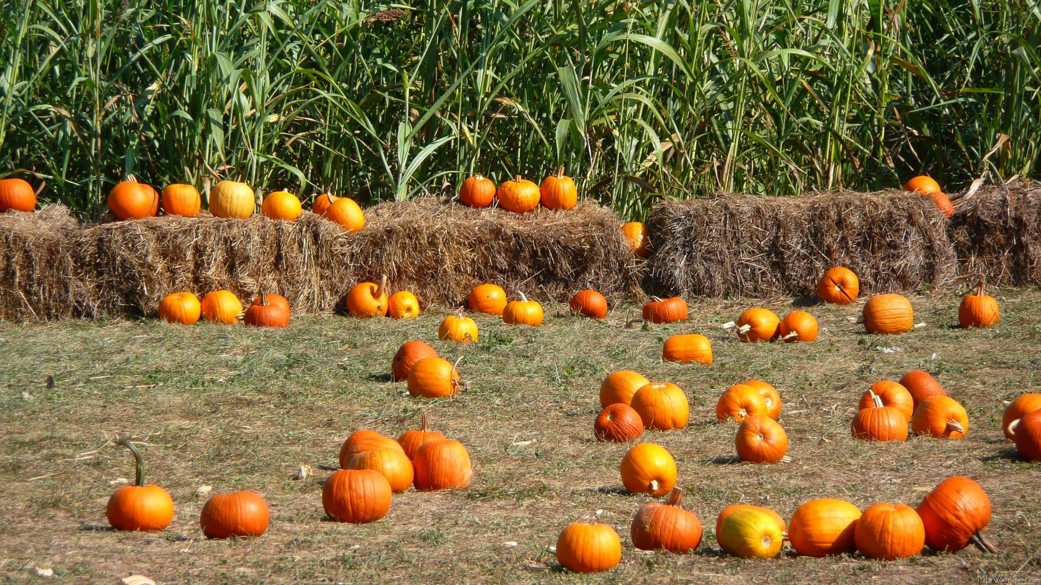 Pumpkins corn and hay - Fall wallpaper pumpkins ...