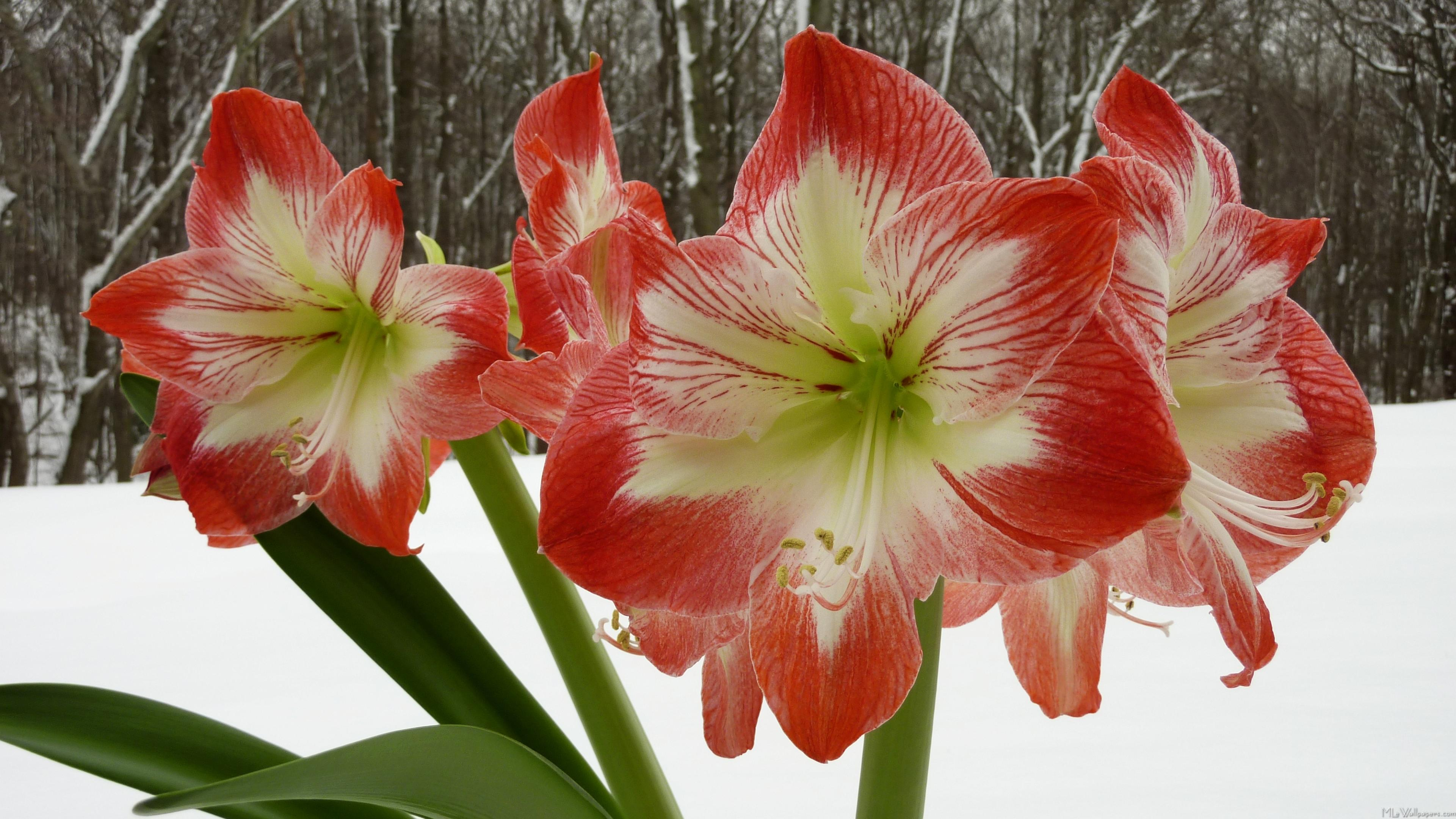 MLeWallpapers Amaryllis in Snow I