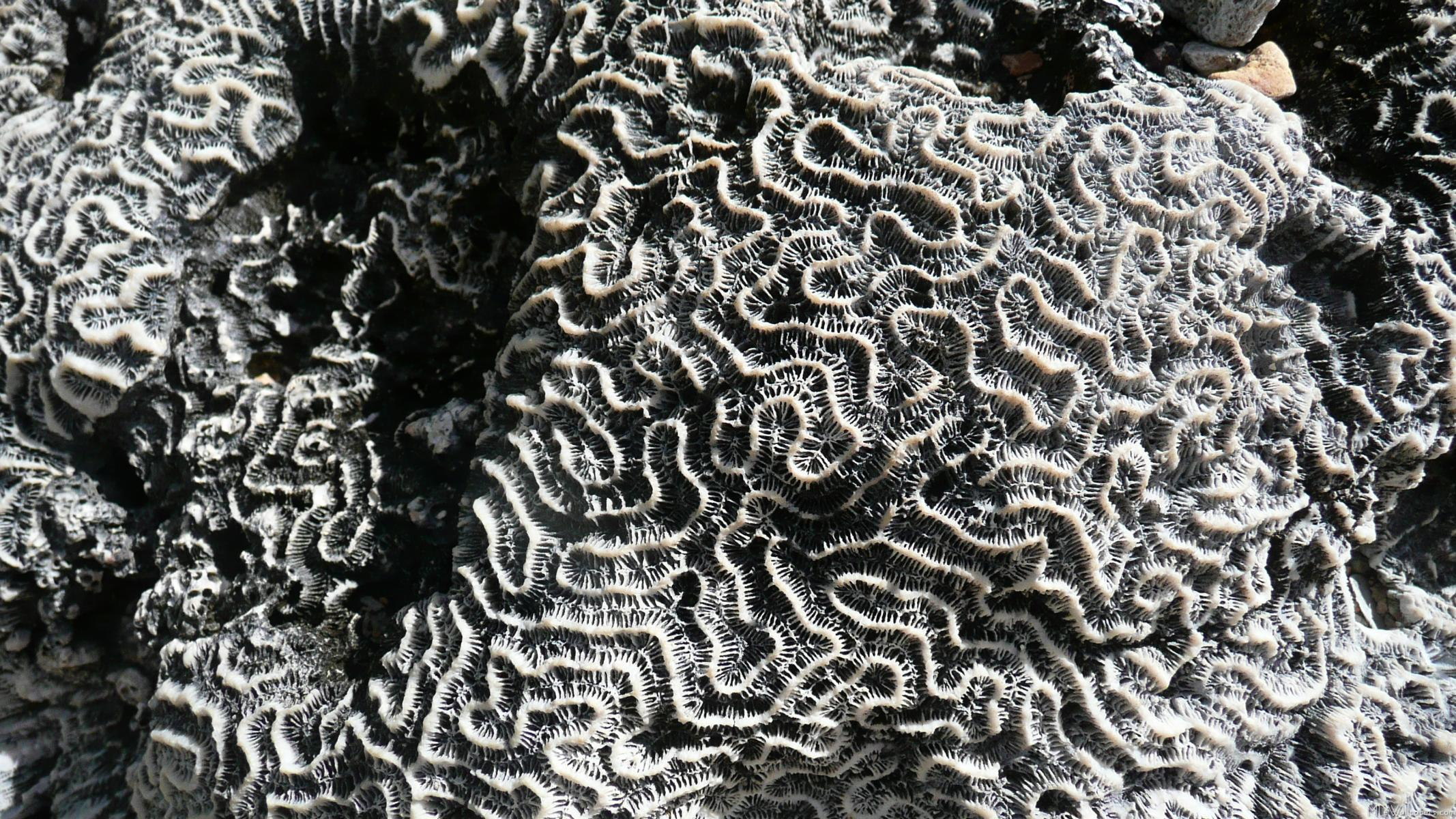 Black and White Coral I 725 Wallpaper patterns black on white