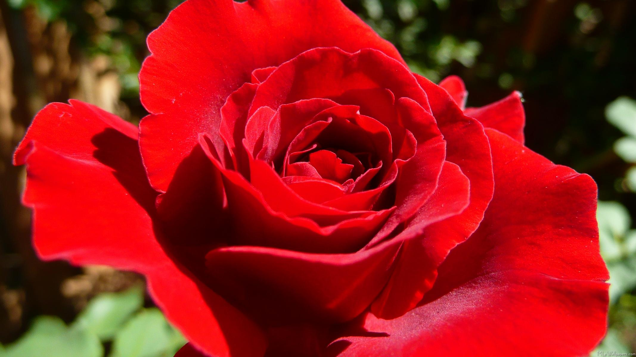 Mlewallpapers bright red rose bright red rose izmirmasajfo Choice Image