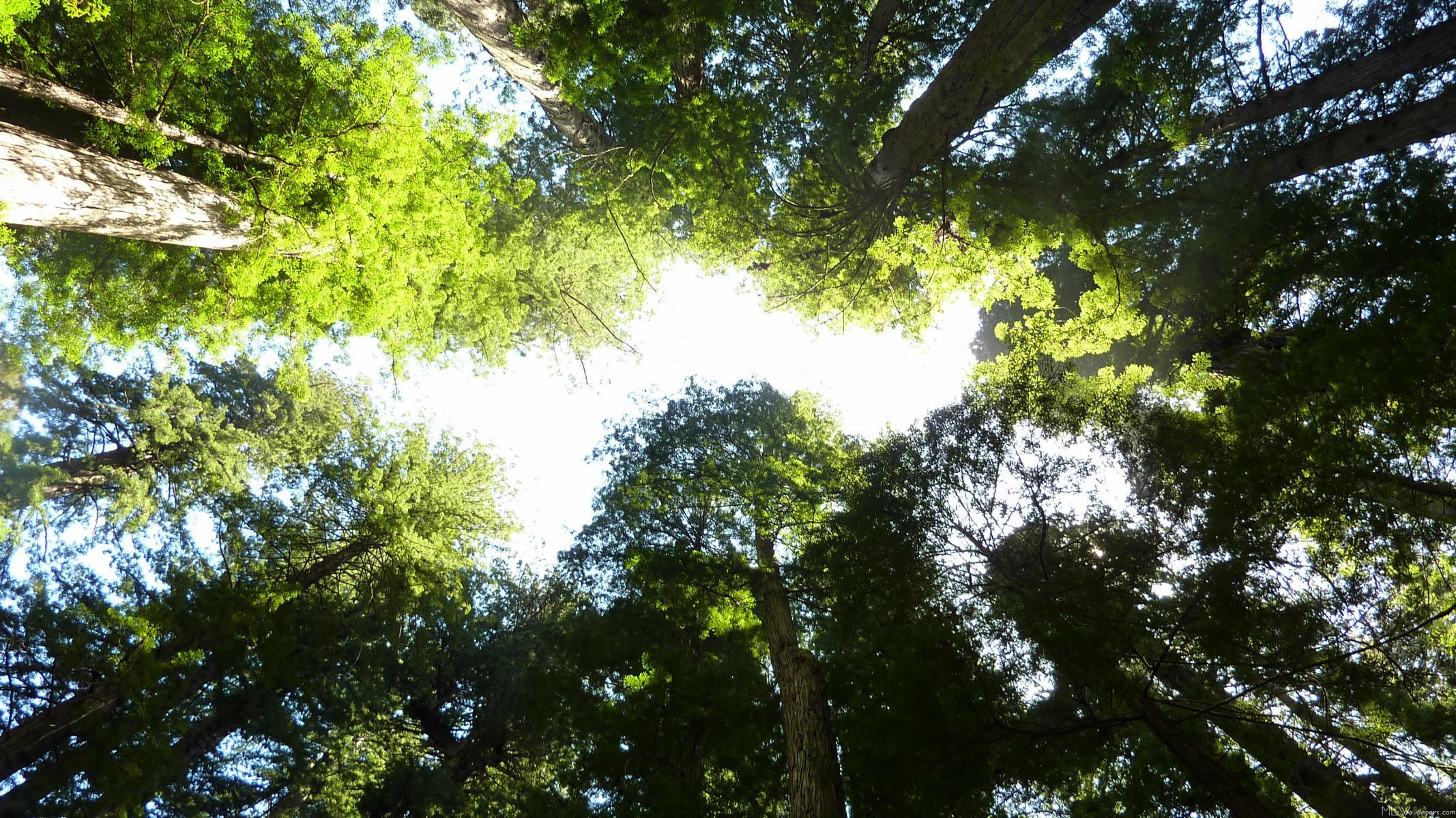 MLeWallpaperscom Circle of Redwood Trees