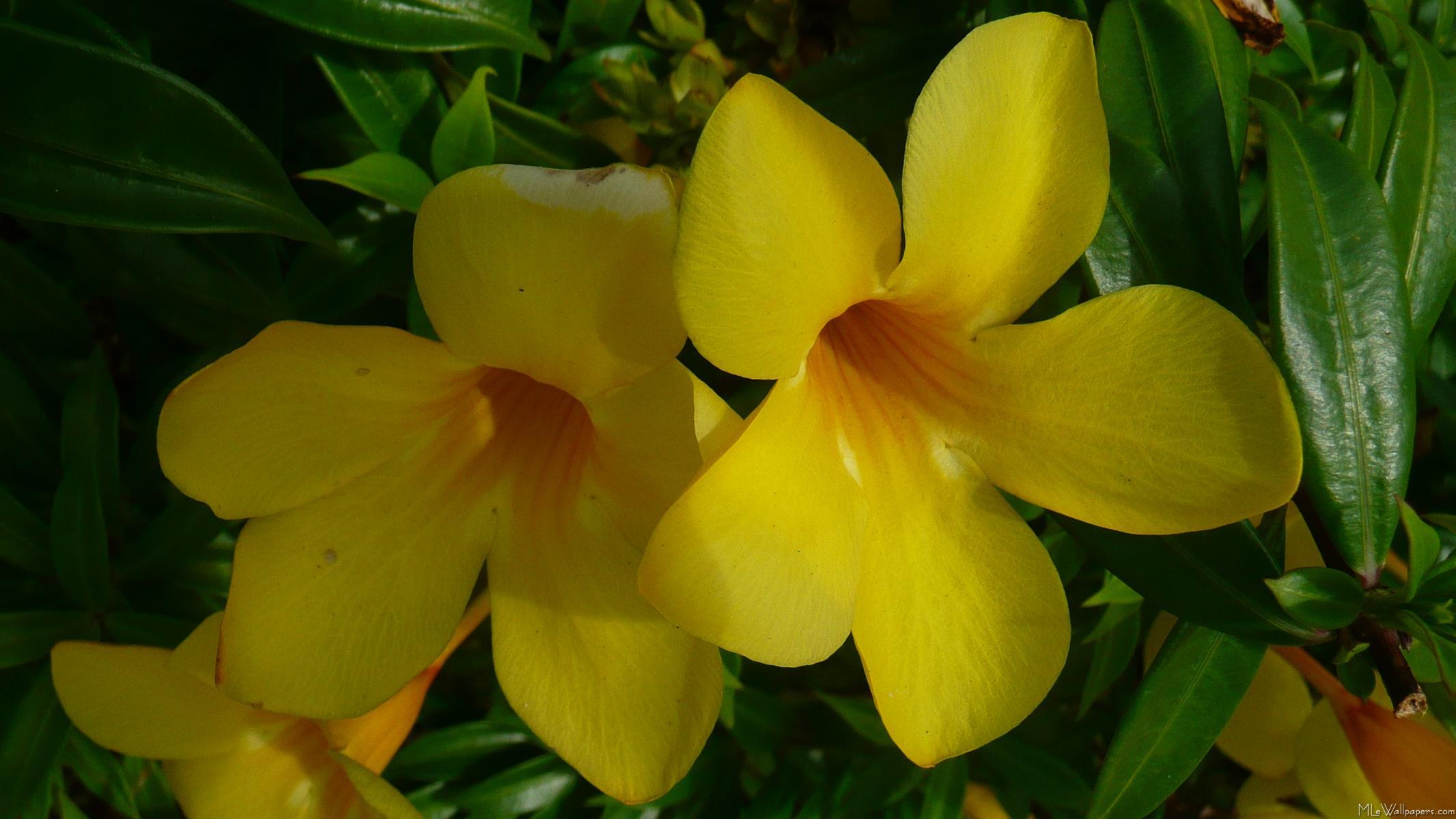 mlewallpapers  golden trumpet flowers ii, Beautiful flower