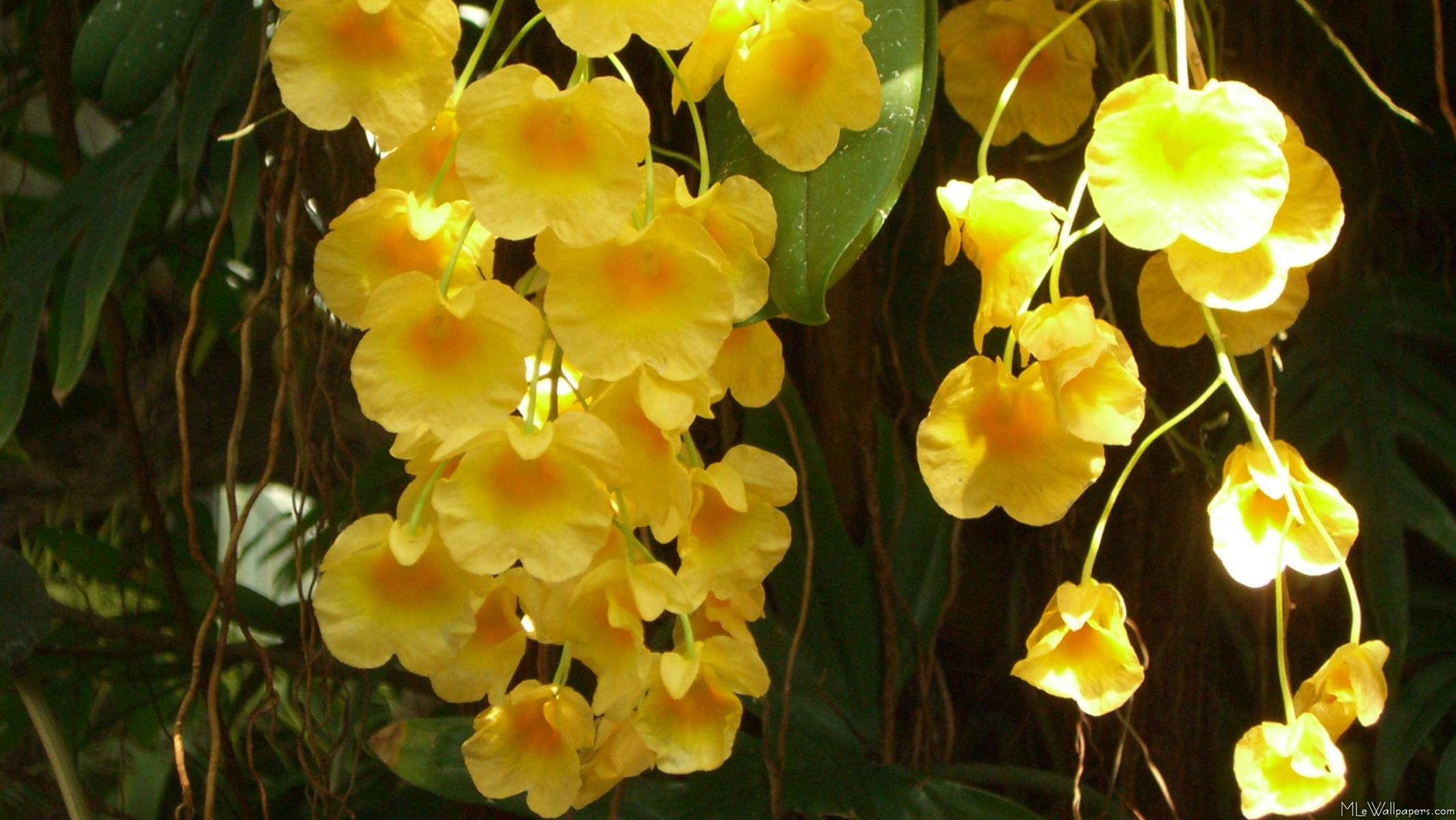 Yellow Orchid Wallpape...