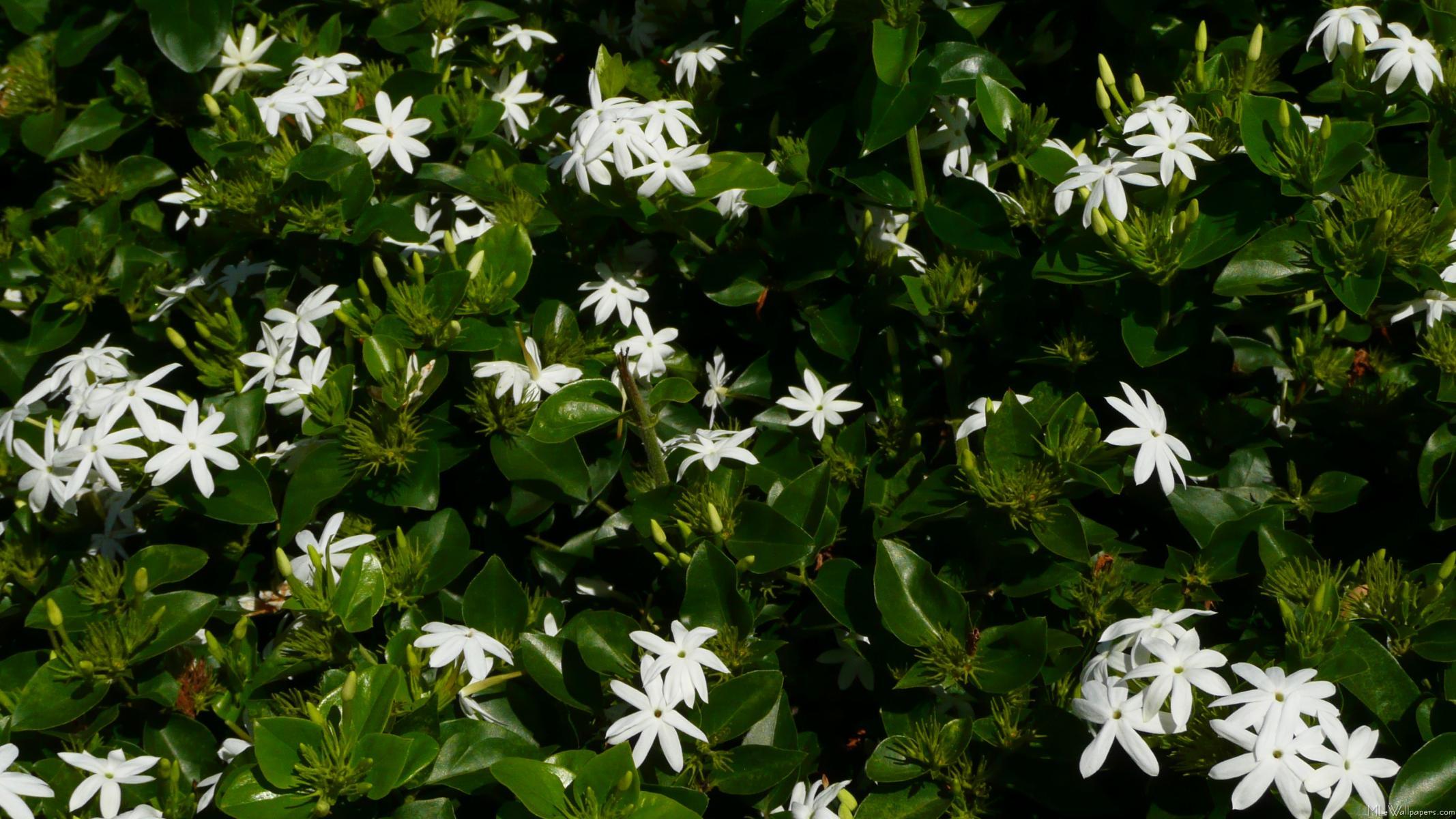 MLeWallpaperscom Jasmine Flowers