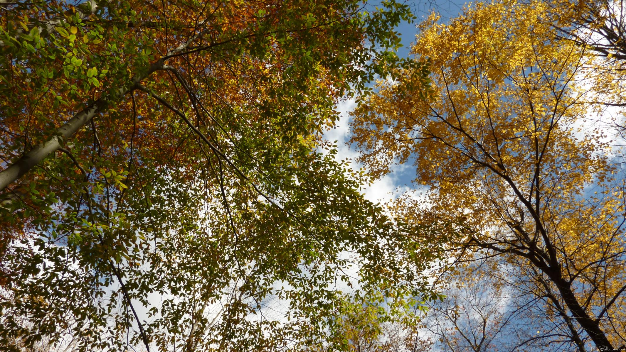 Fall Leaves Looking Up on 1204 html
