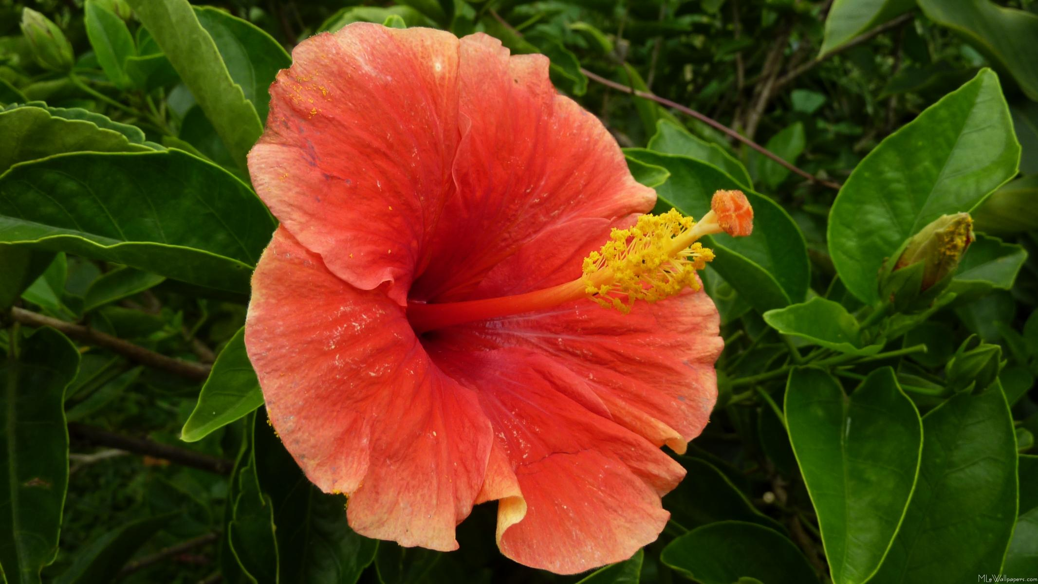 Orange HibiscusOrange Hibiscus Flowers