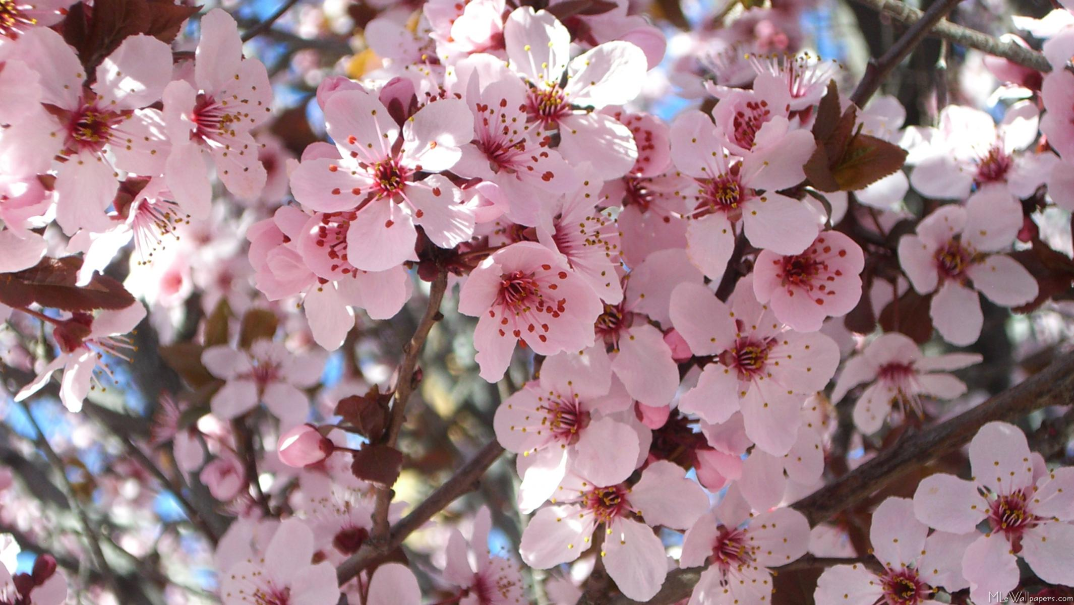 Mlewallpapers Pink Blossoms