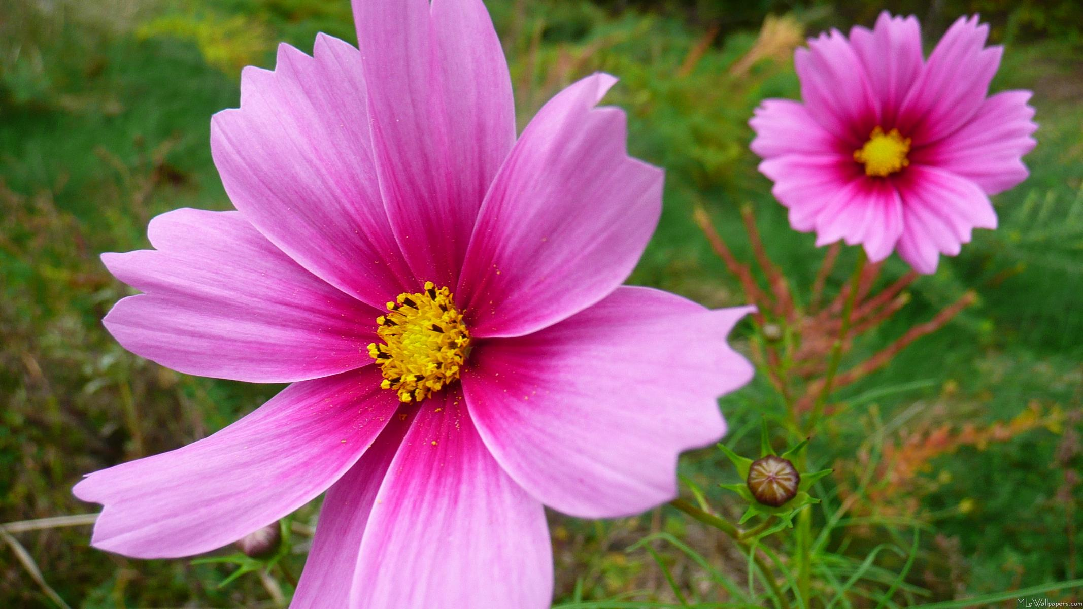 Mlewallpapers pink cosmos flowers heres a nature wallpaper of two pretty pink cosmos from the wildflowers i planted in my back yard last summer pink cosmos flowers mightylinksfo Image collections