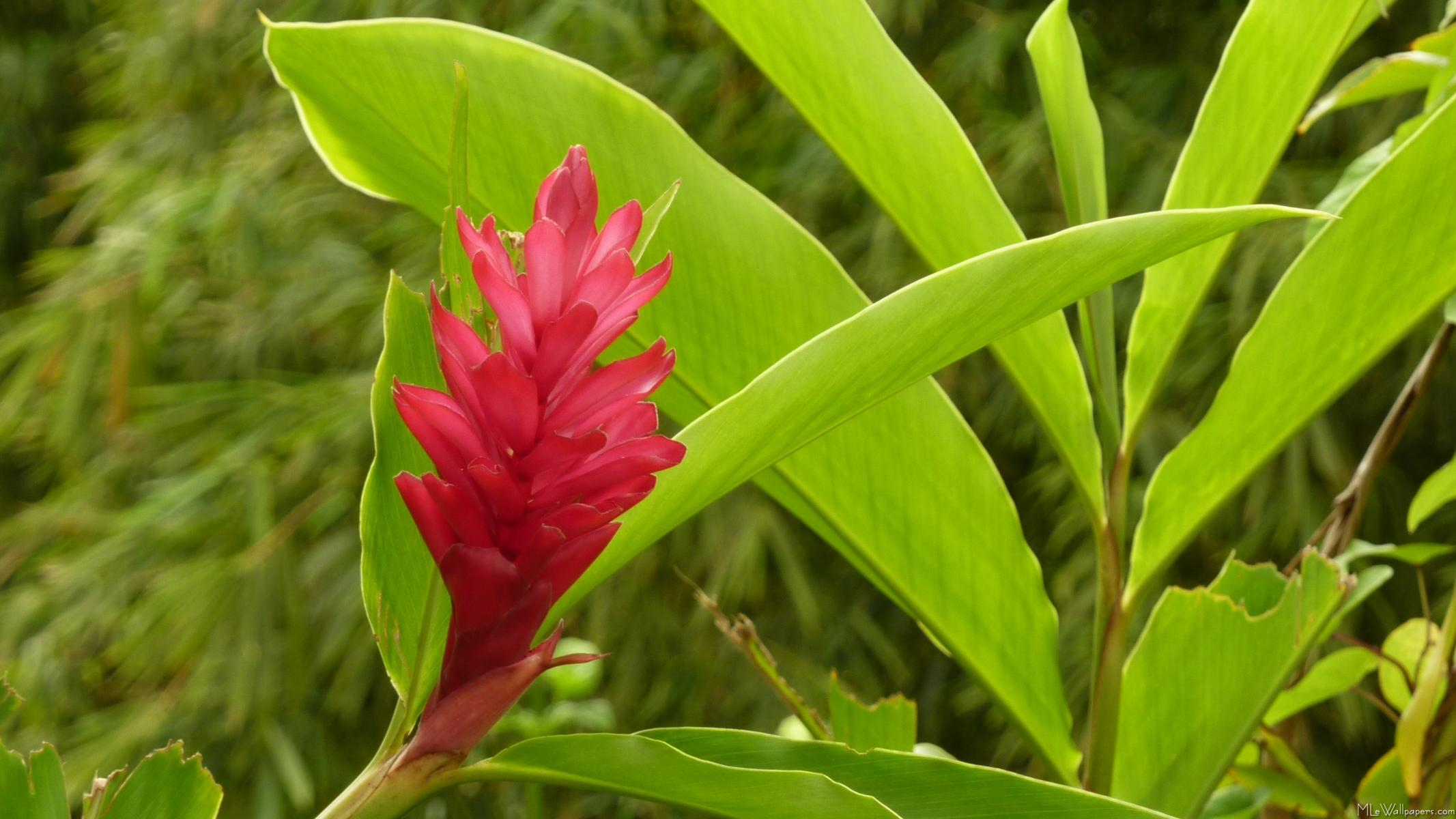 Mlewallpapers red ginger flower red ginger flower izmirmasajfo
