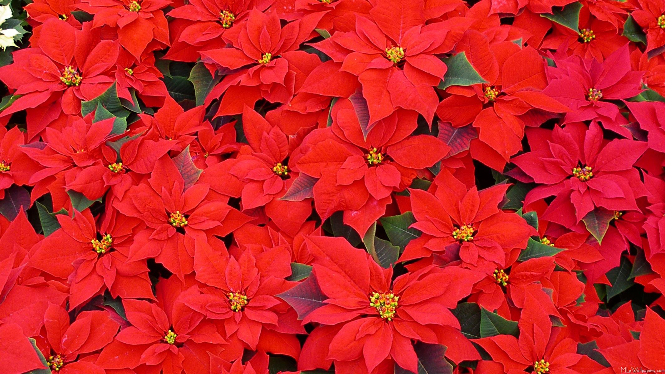 http://www.mlewallpapers.com/image/16x9-Widescreen-1/view/Red-Poinsettias-2.jpg