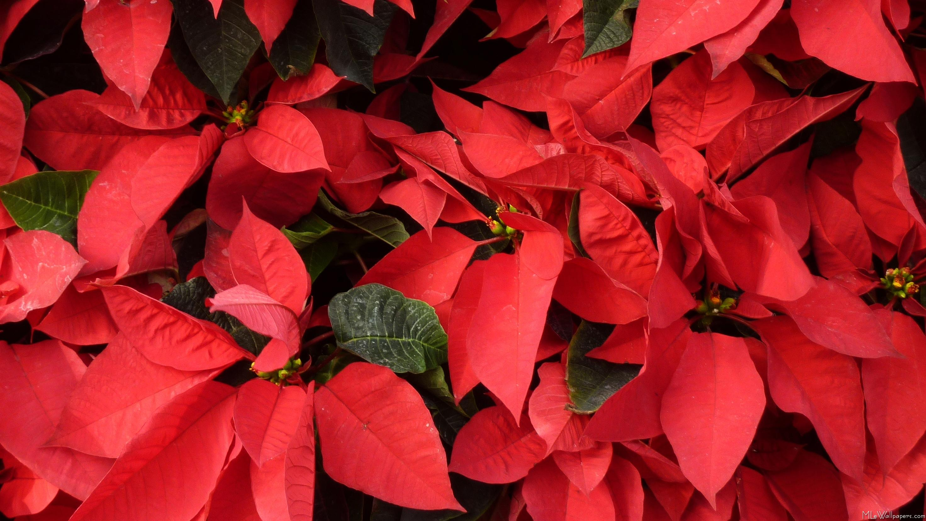 or red poinsettia - photo #7