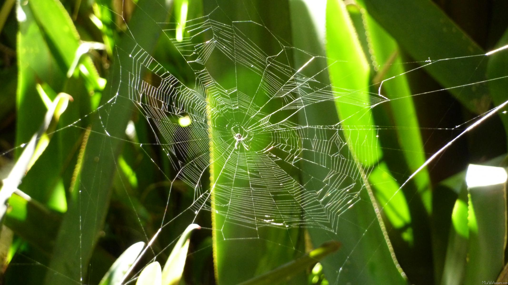 I don't usually like spiders or spiderwebs, but this spiderweb seemed to  glisten in the light between these tropical leaves. This tropical wallpaper  is from ...