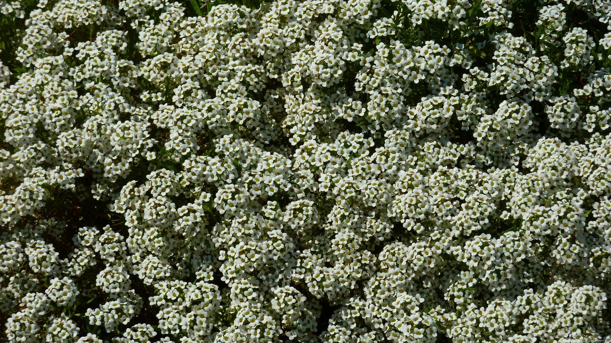 mlewallpapers  sweet alyssum flowers, Natural flower