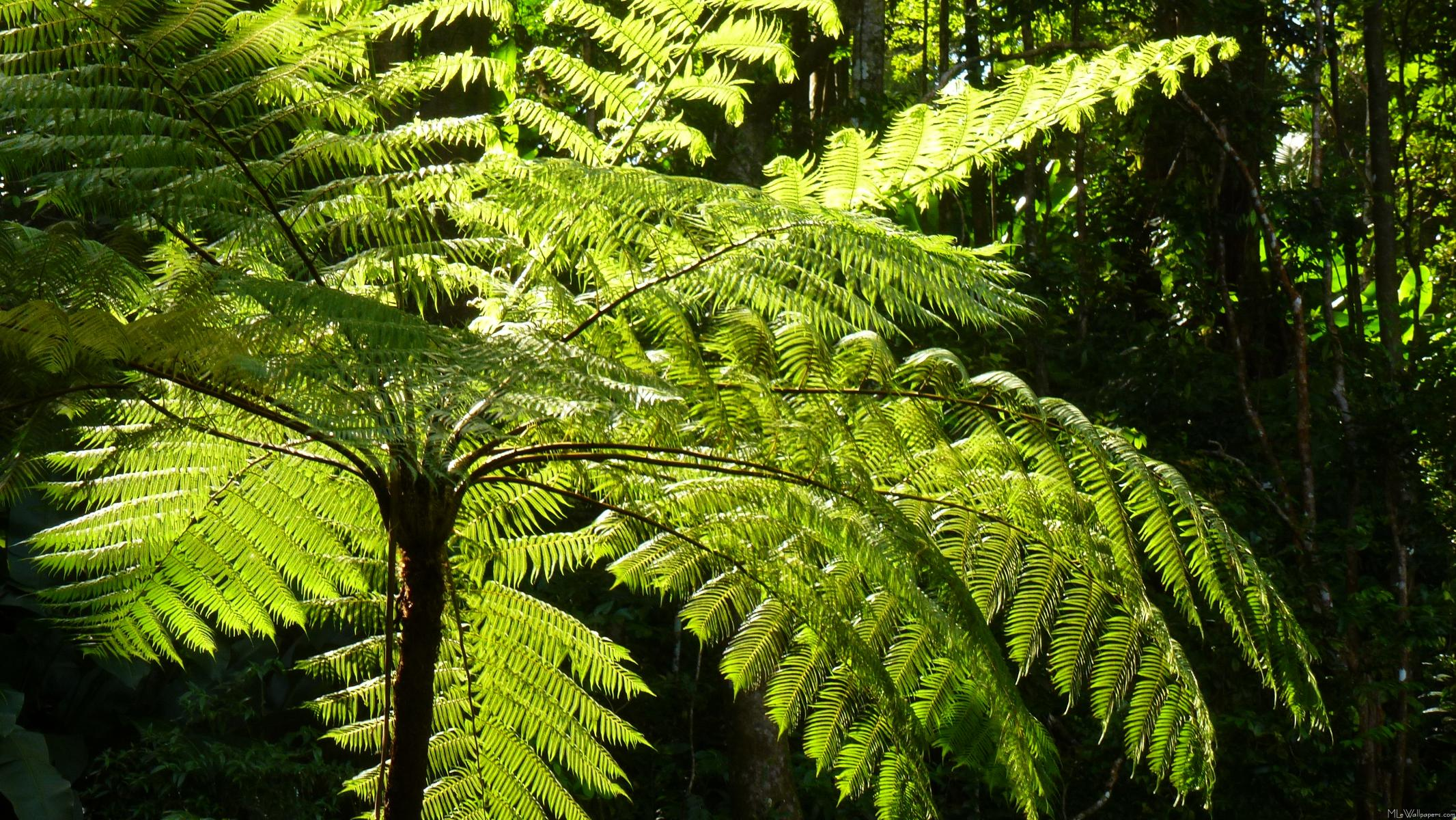 MLeWallpapers.com - Tree Fern in the Rainforest