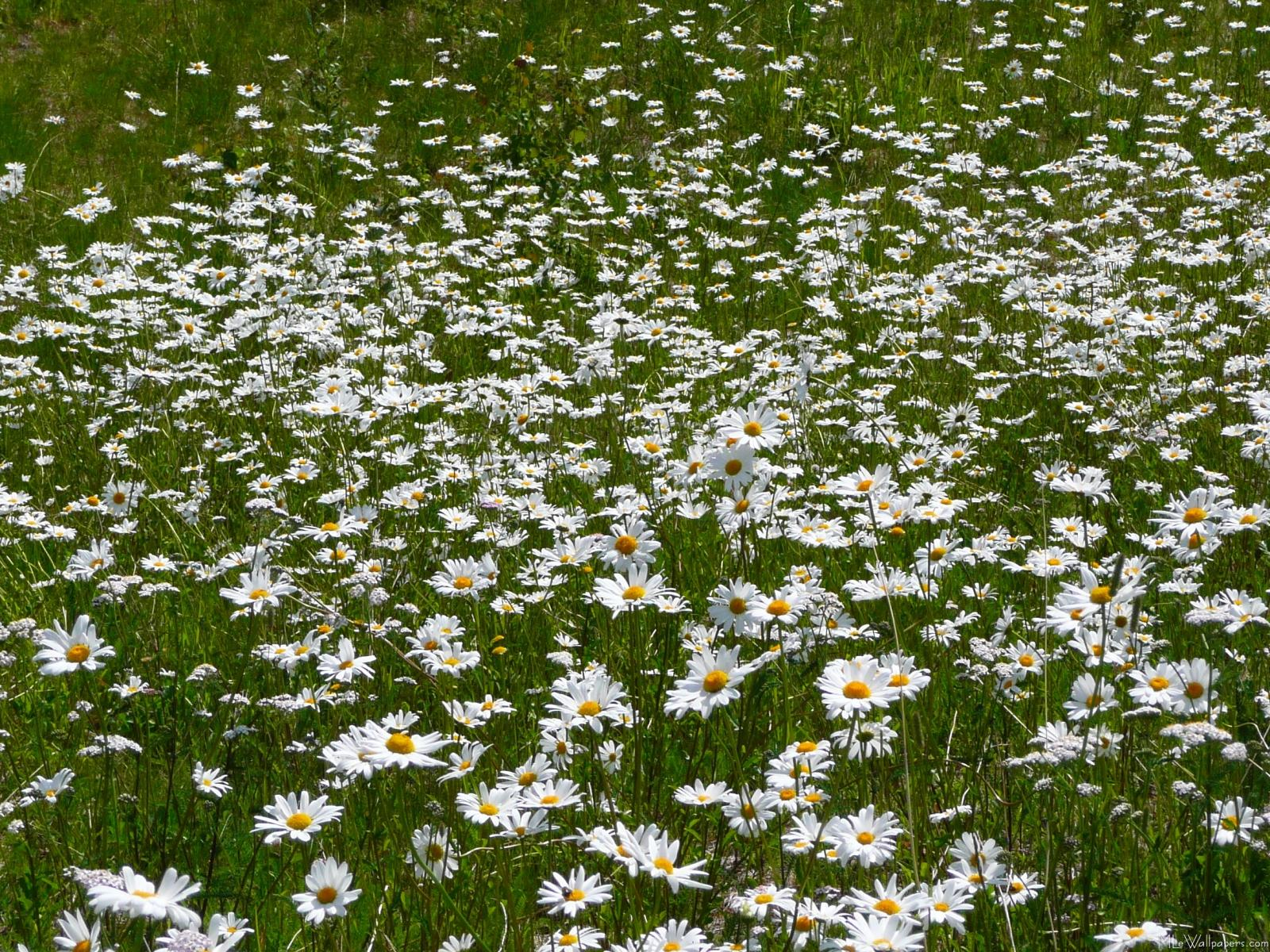 mlewallpaperscom field of daisies