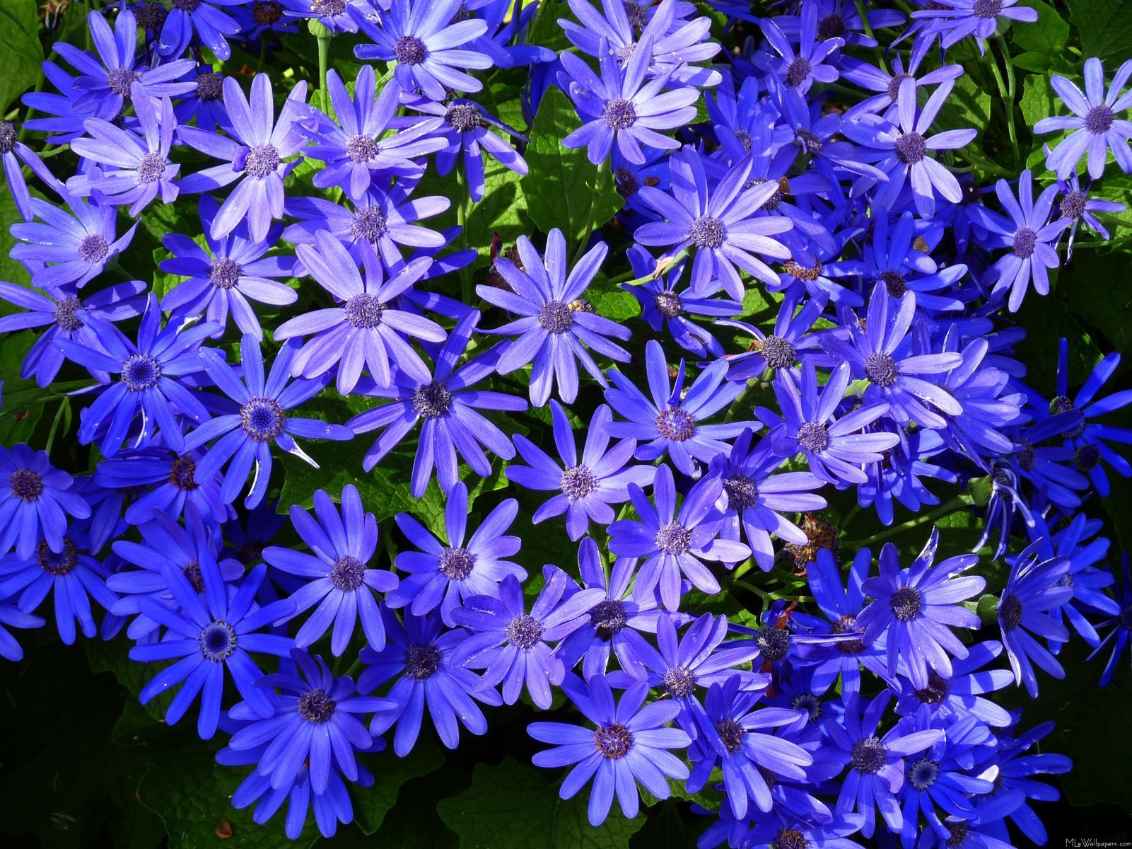 MLeWallpapers.com - Blue Daisy-like Flowers