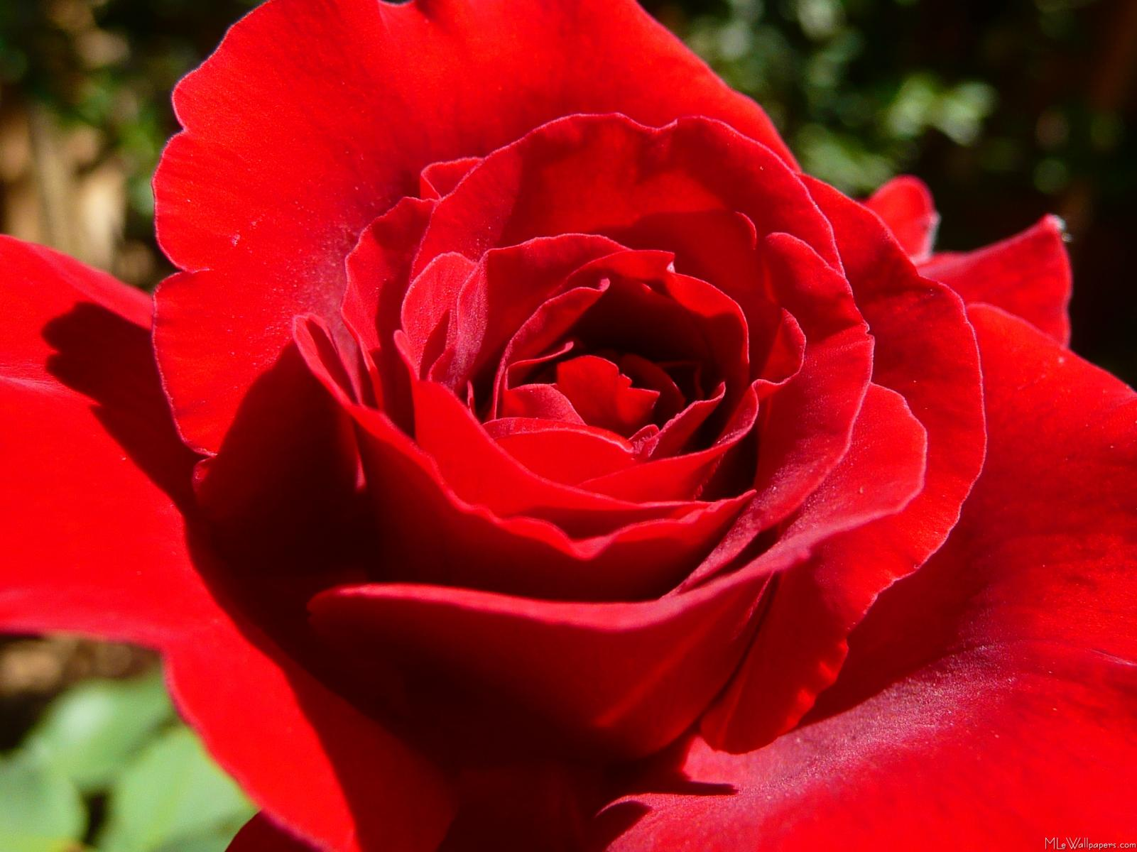 Mlewallpapers Bright Red Rose