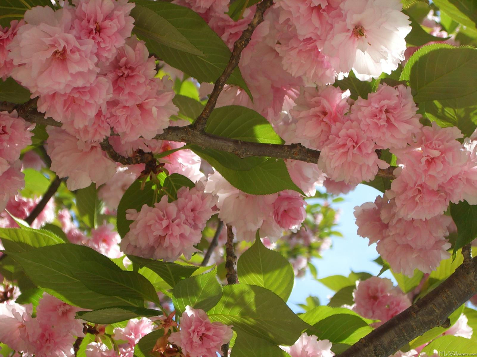 Mlewallpapers Double Blossoming Cherry Tree Iii