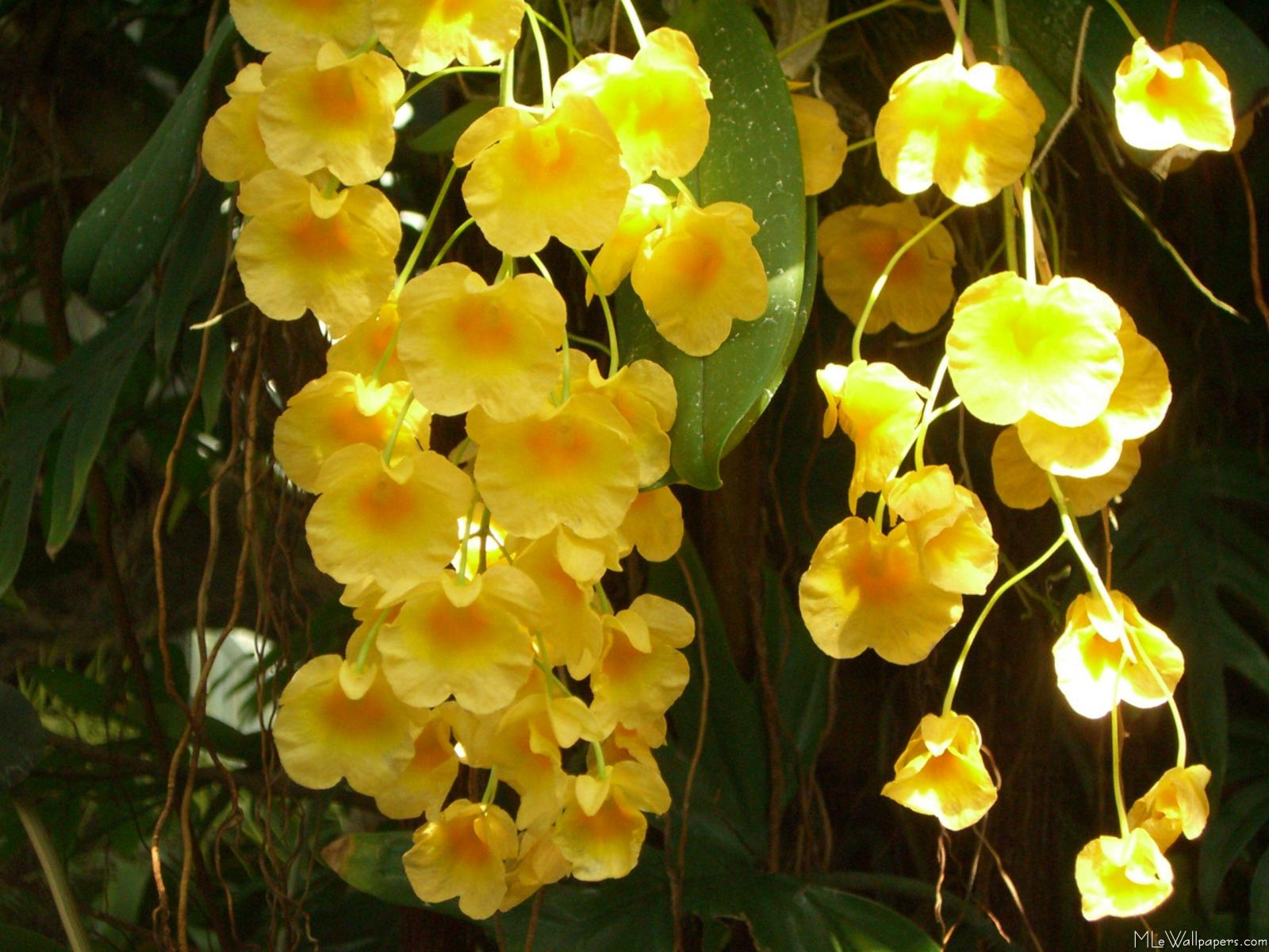 Hanging Yellow OrchidsYellow Orchids Flowers