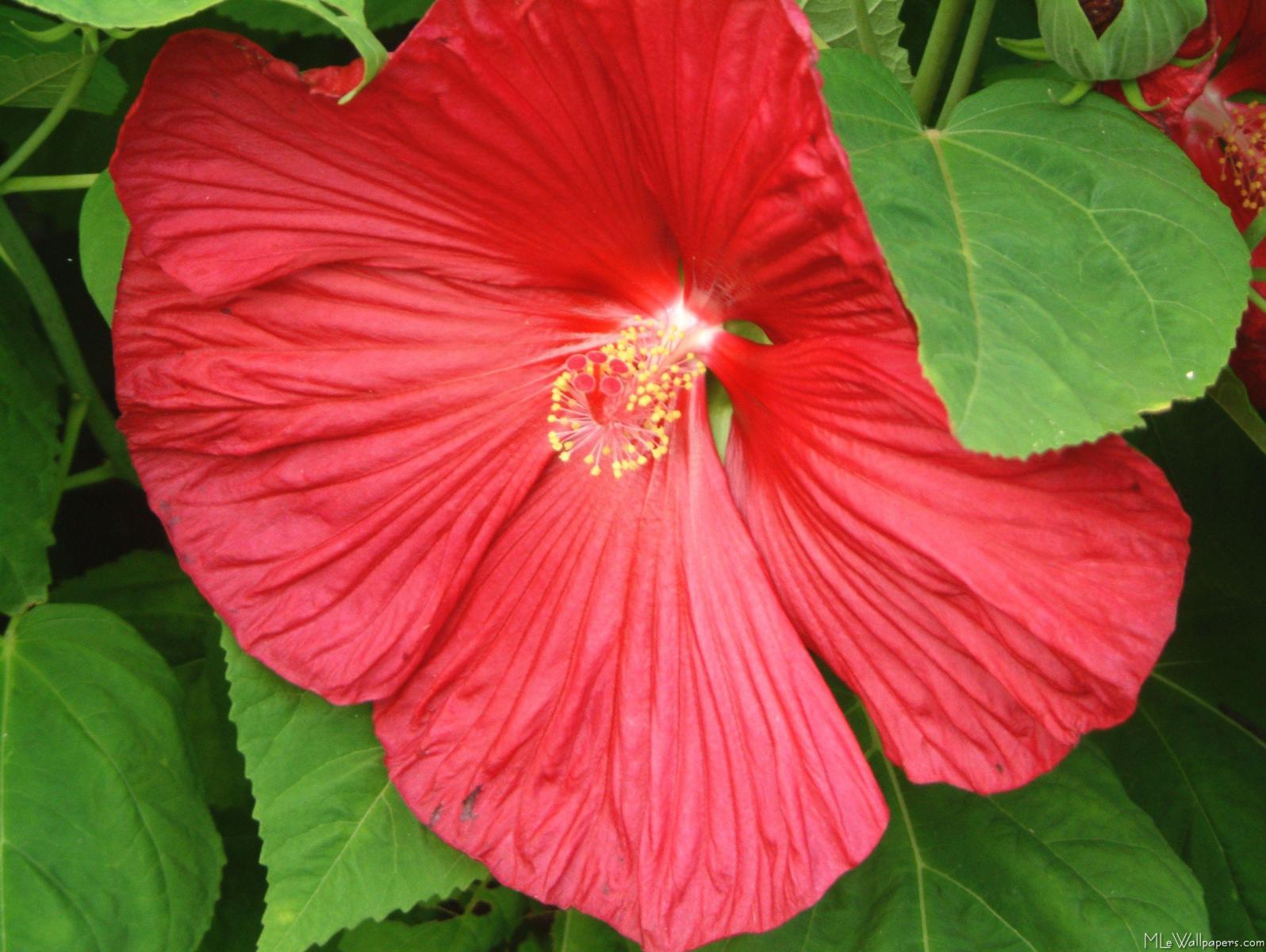 MLeWallpapers Hibiscus Flower