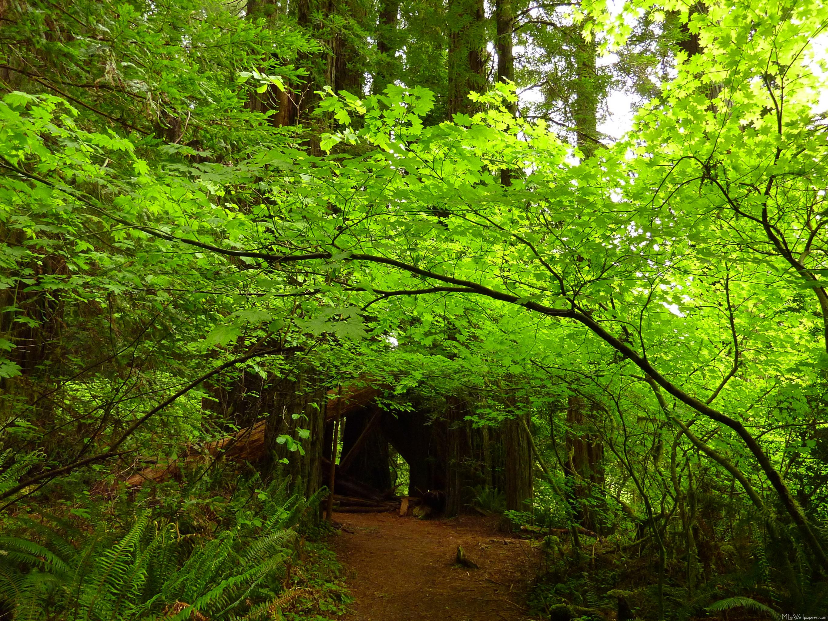 MLeWallpapers.com - Maple Trees in Redwood Forest