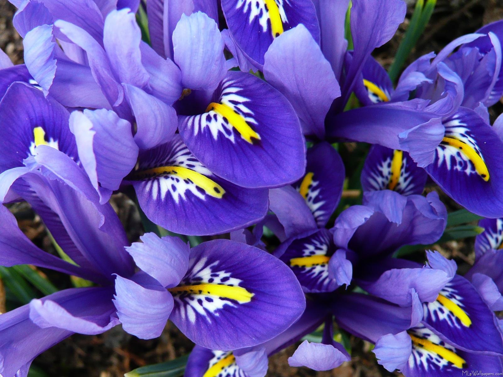 Wall Sticker Calendar Mlewallpapers Com Miniature Blue Irises