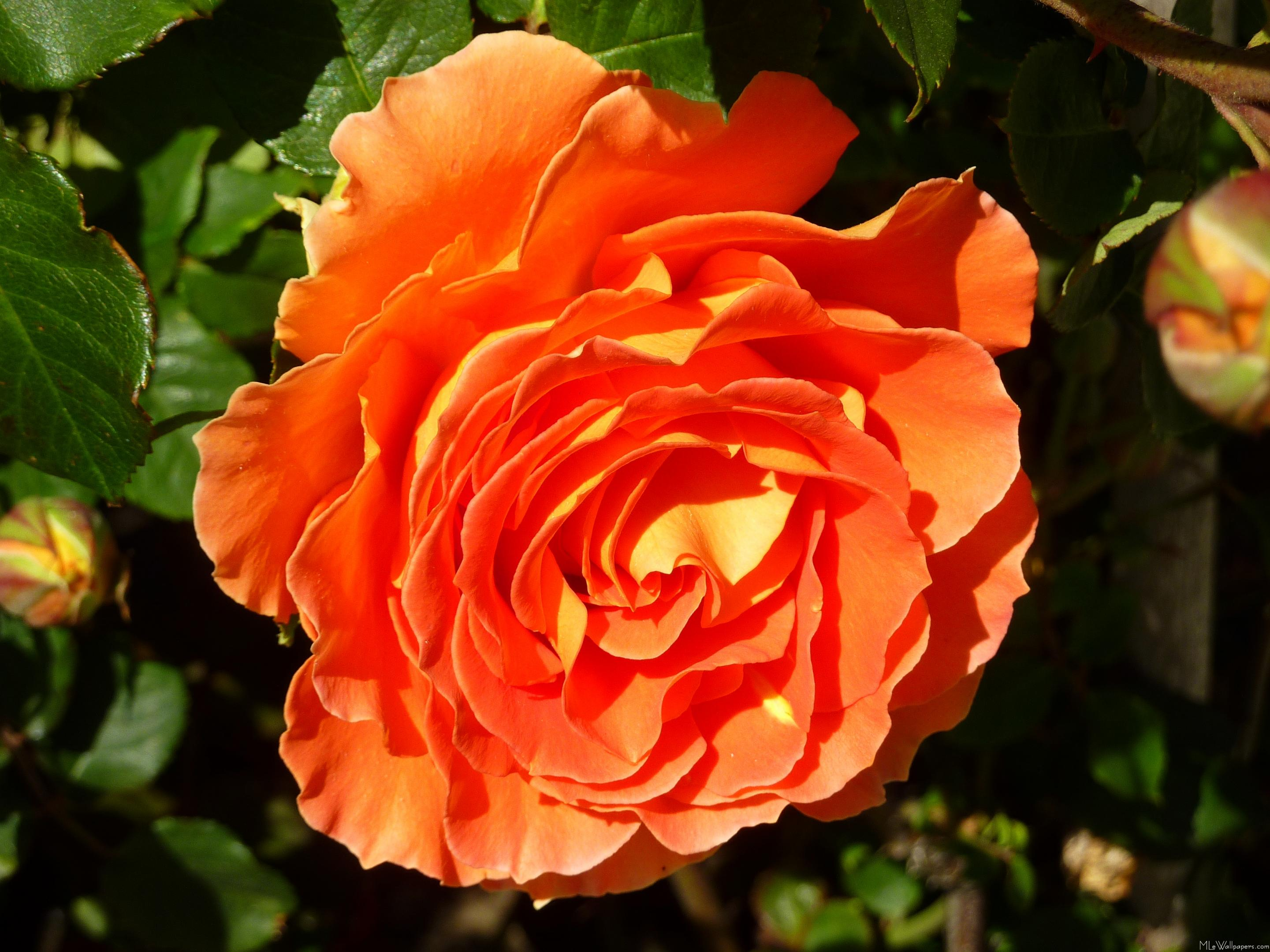 Mlewallpapers Com Orange Rose I